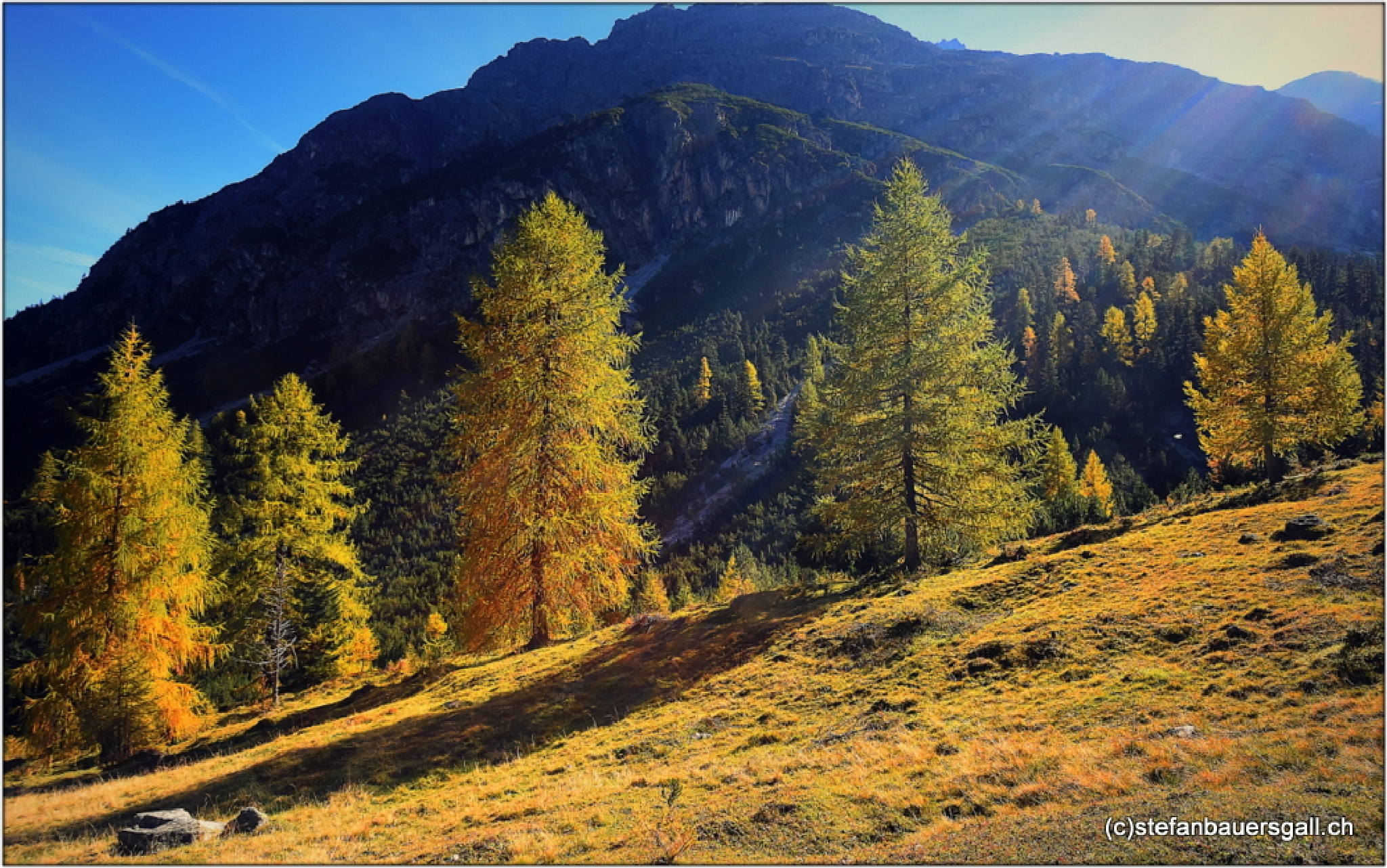"""larch trees in the sun"" by BauerStefan"