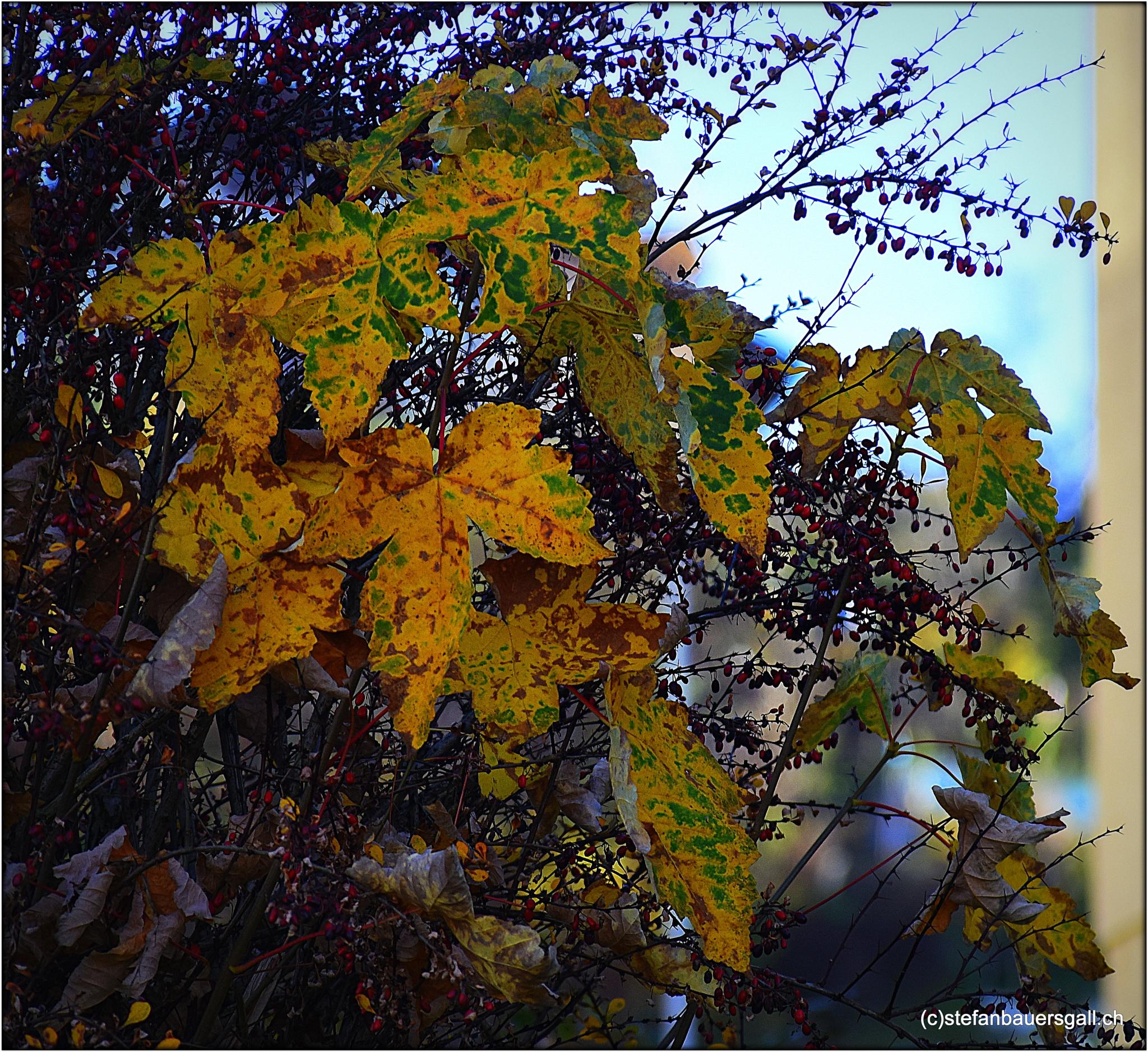 """autumn leafs2"" by BauerStefan"