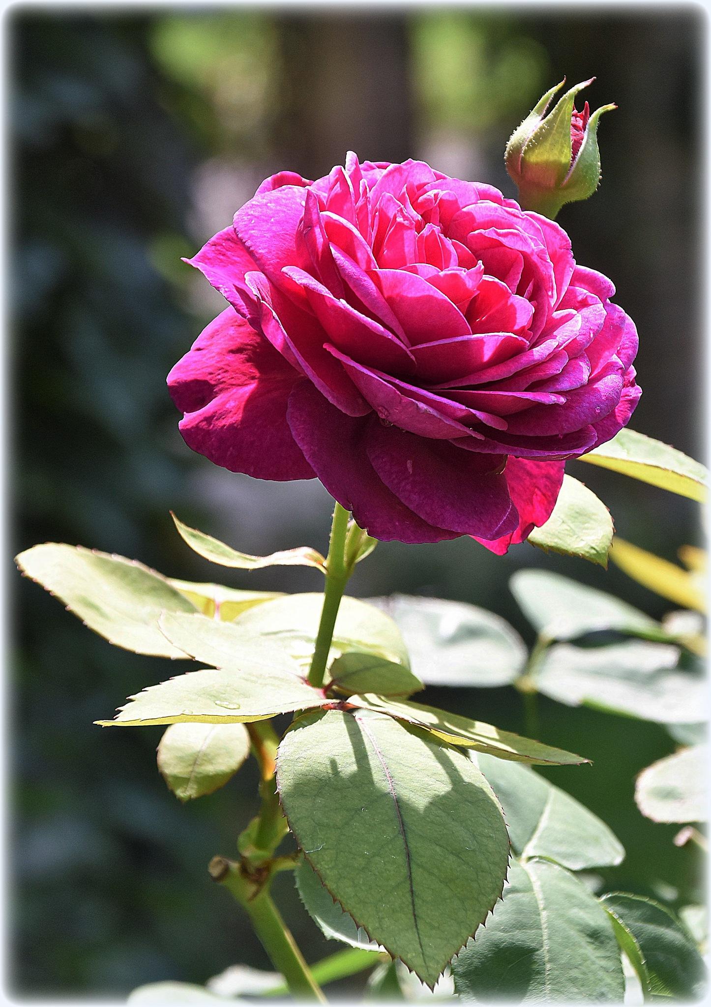 """color-rose"" by BauerStefan"