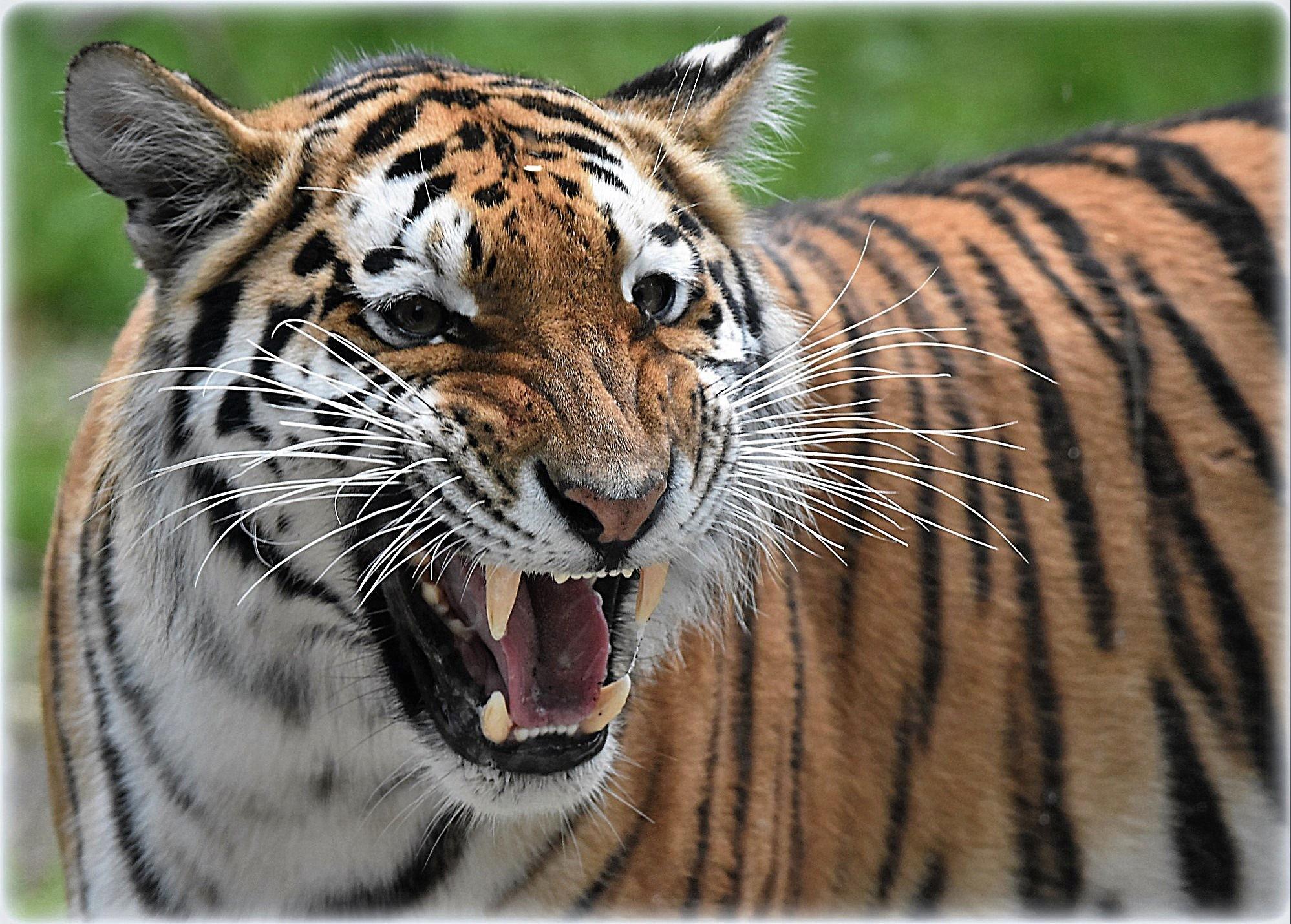 """""""madame tiger"""" by BauerStefan"""