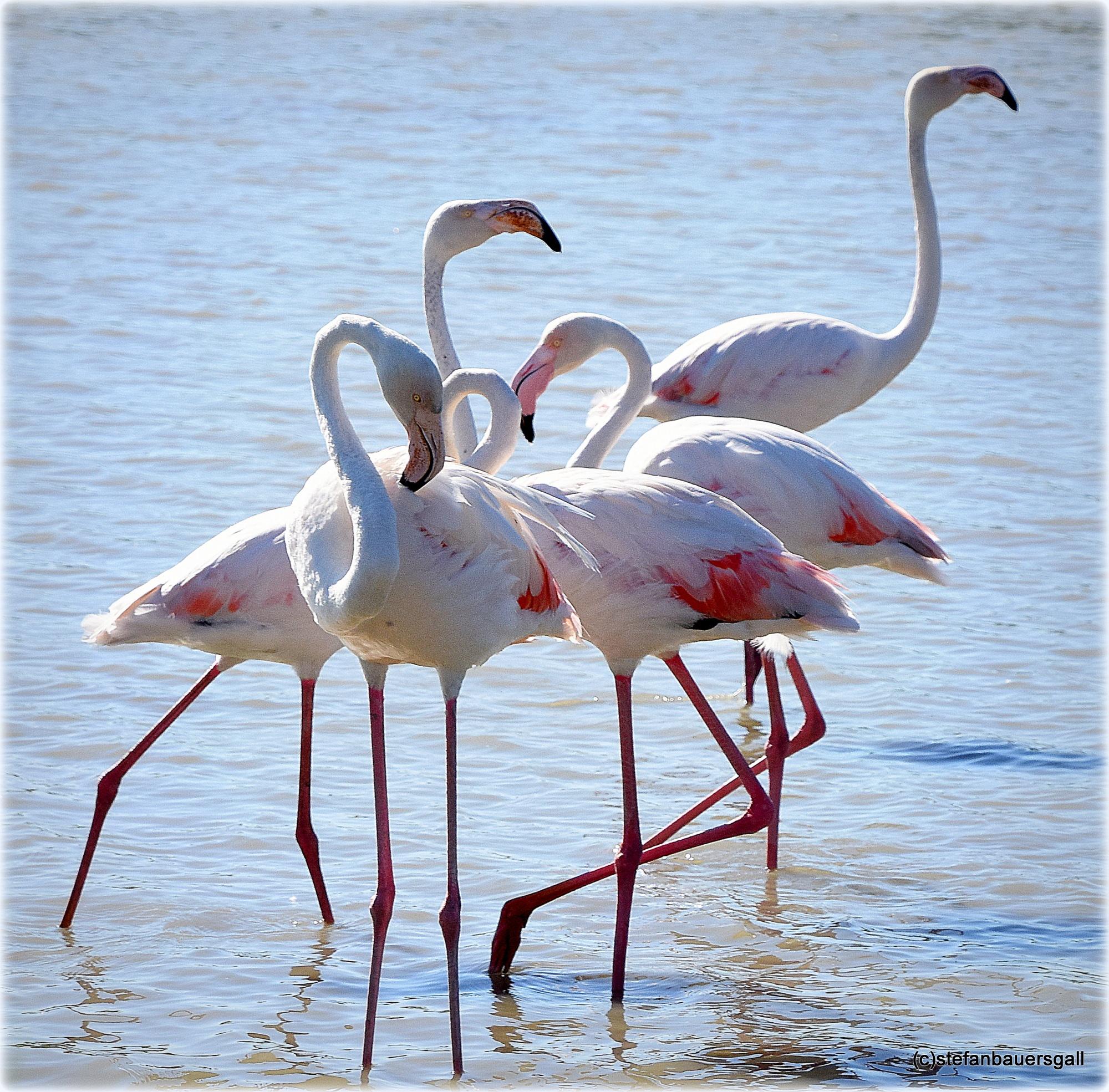 """flamingo group"" by BauerStefan"