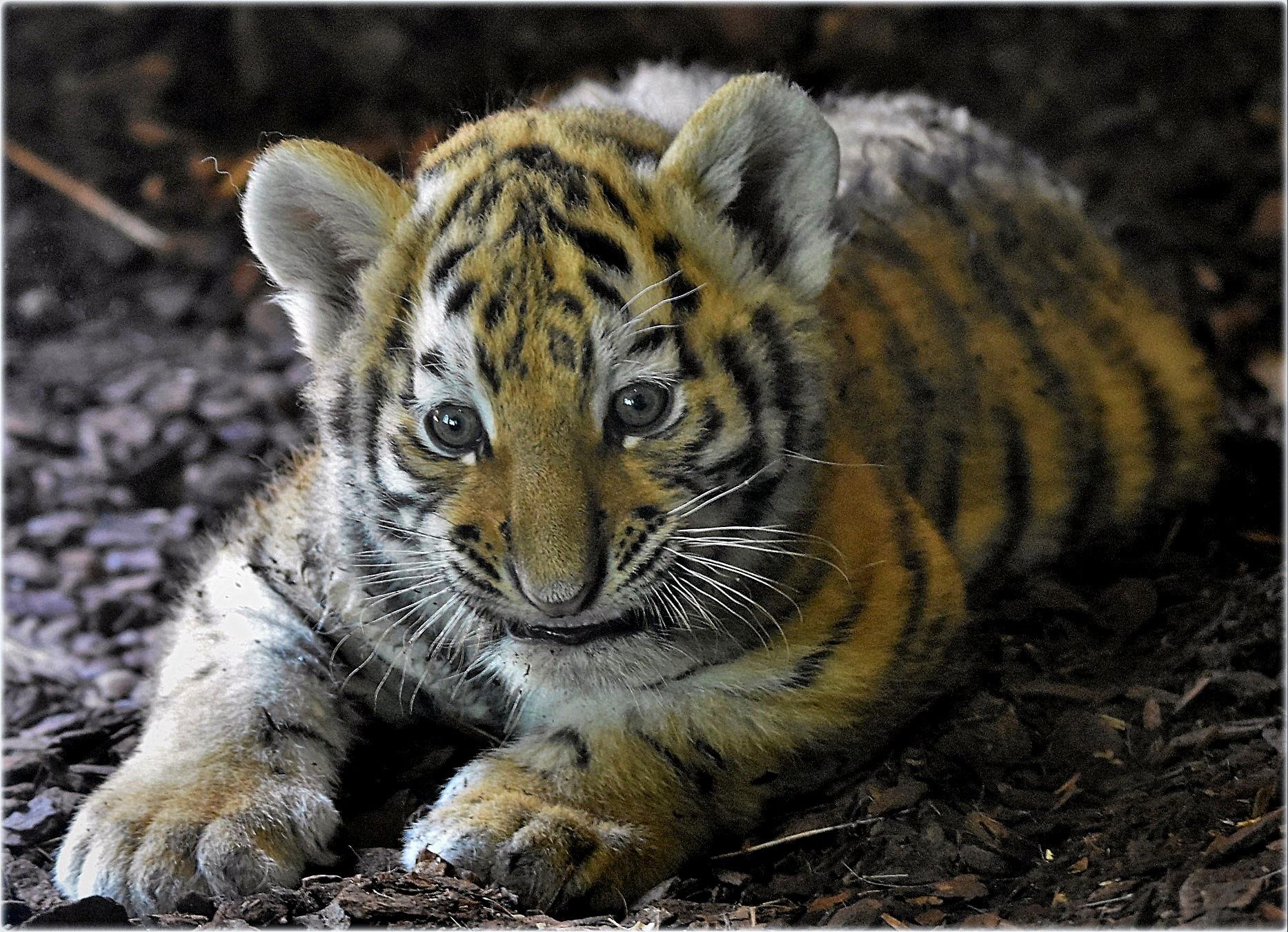 """tiger-baby"" by BauerStefan"