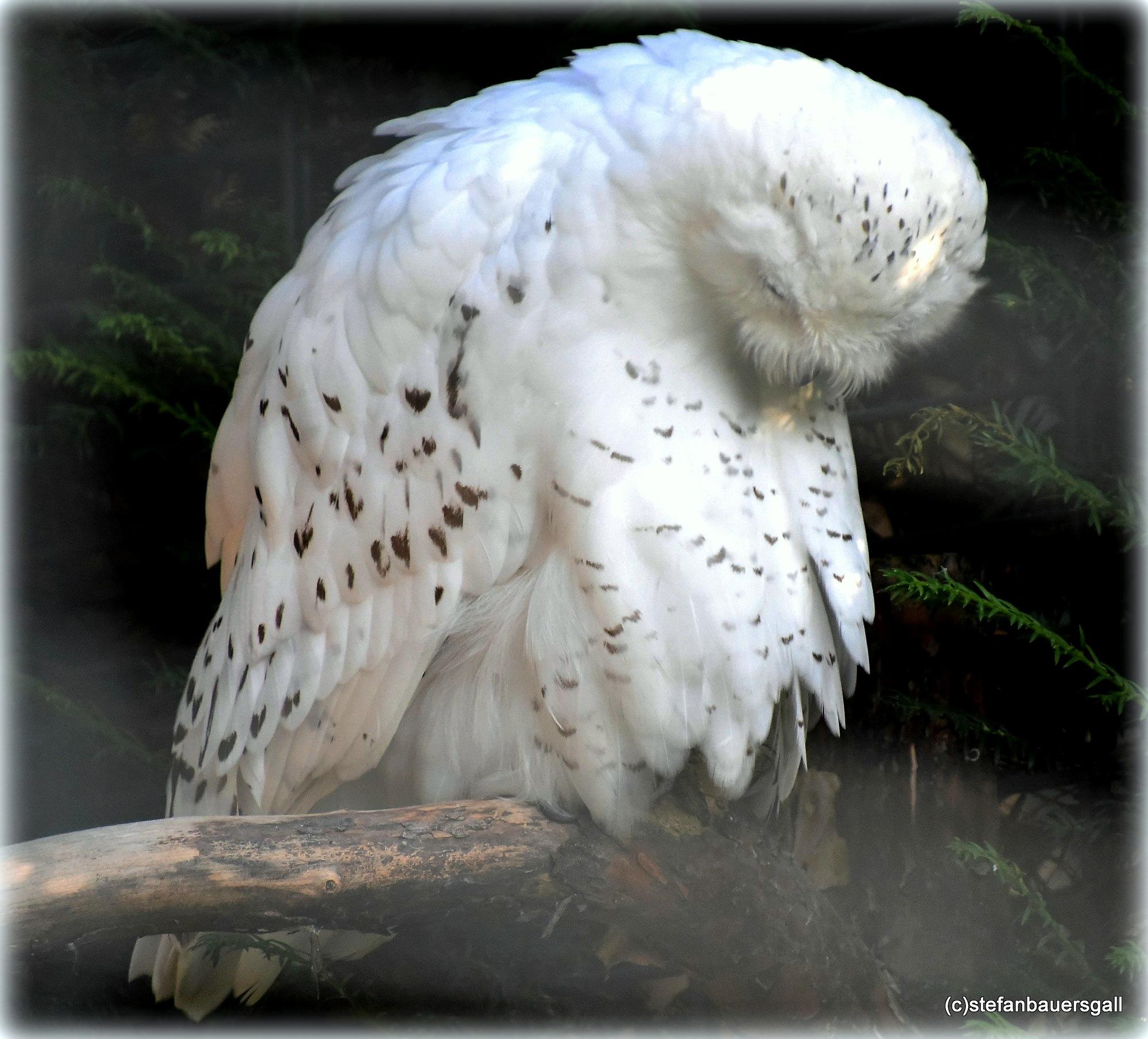 """""""snow owl"""" by BauerStefan"""