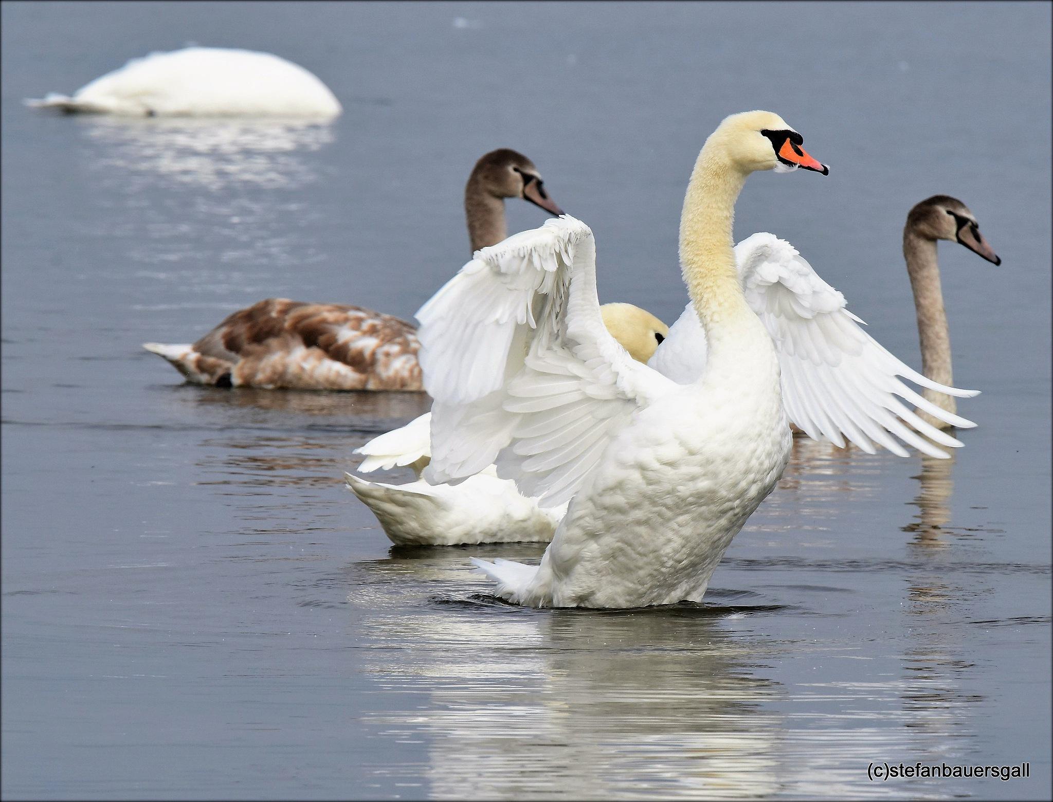 """""""swan s"""" by BauerStefan"""