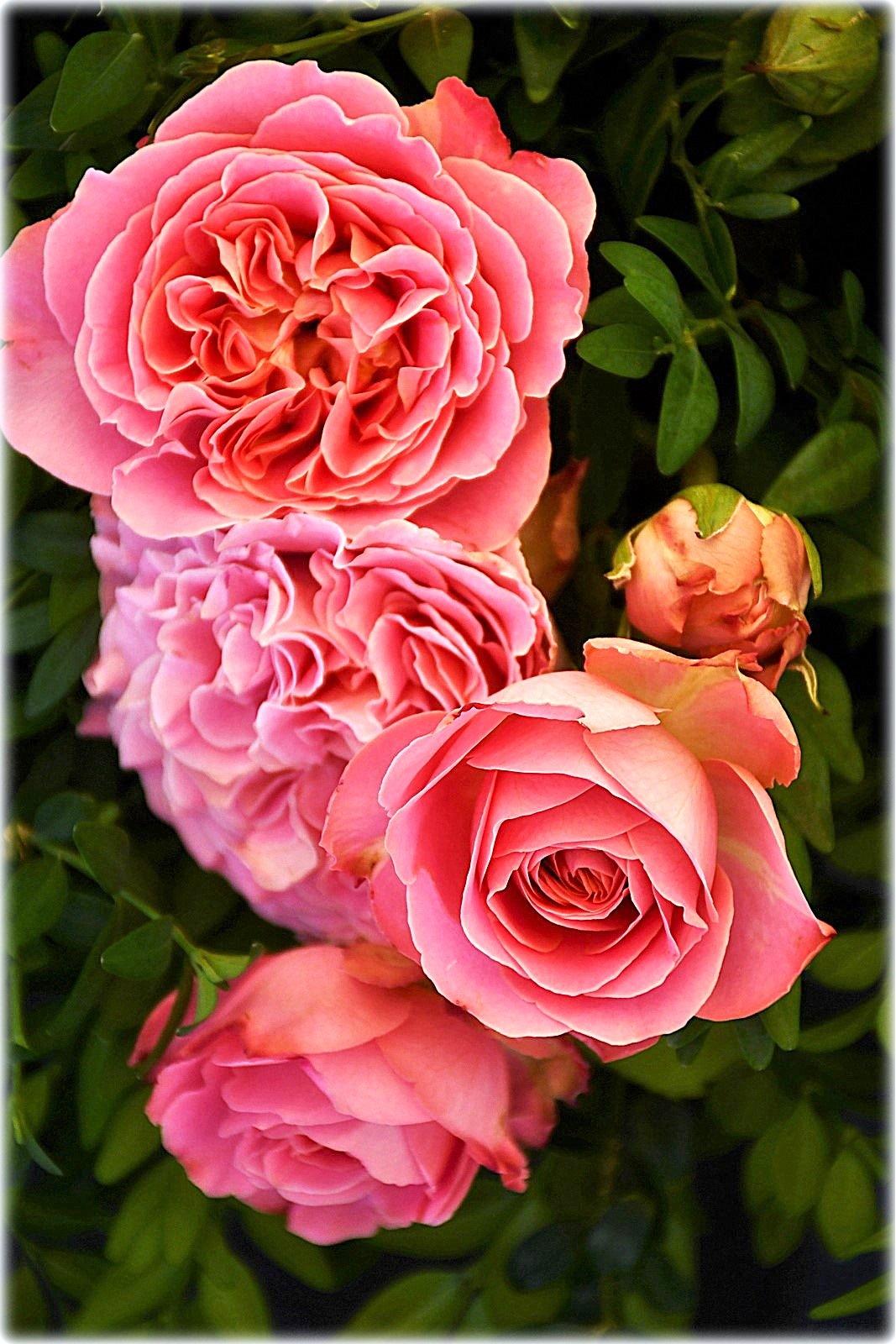 """roses"" by BauerStefan"