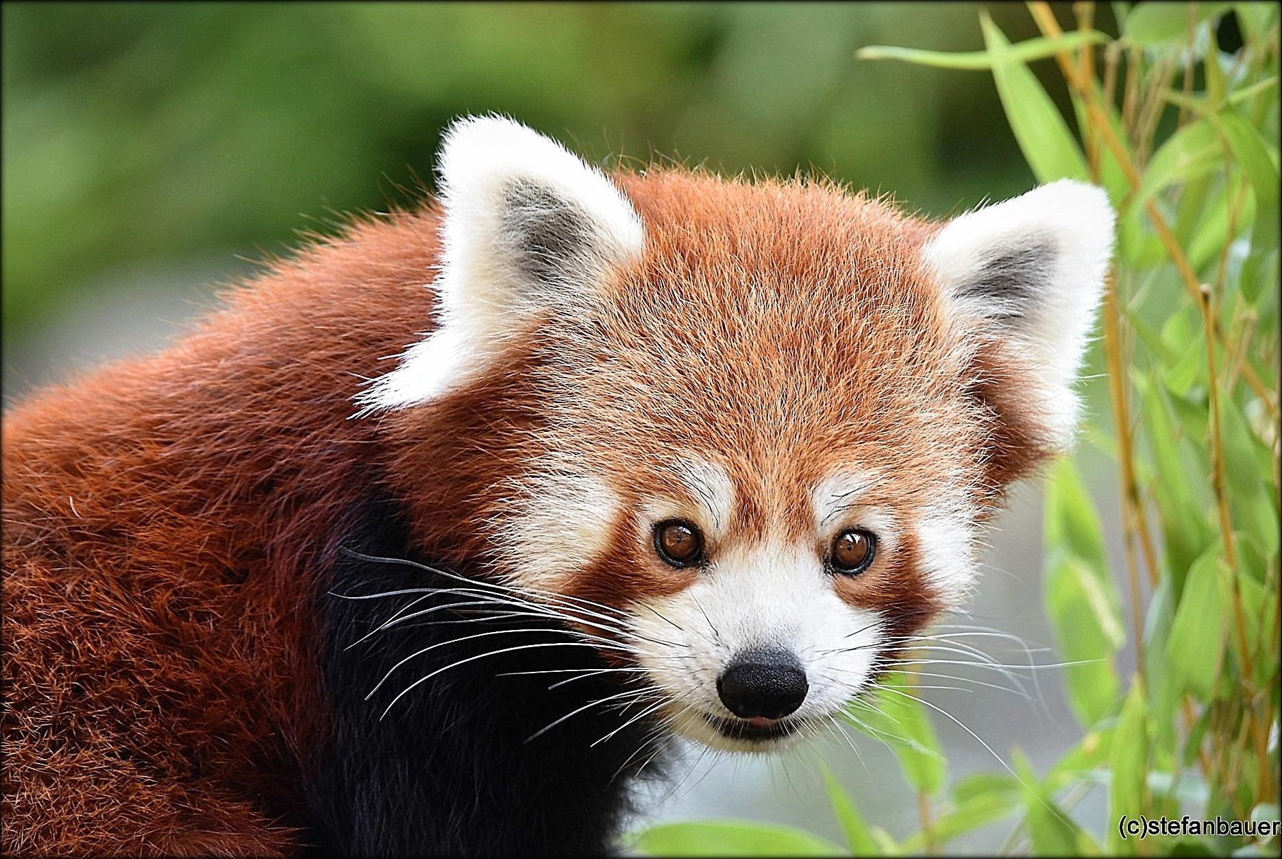 """""""red panda"""" by BauerStefan"""