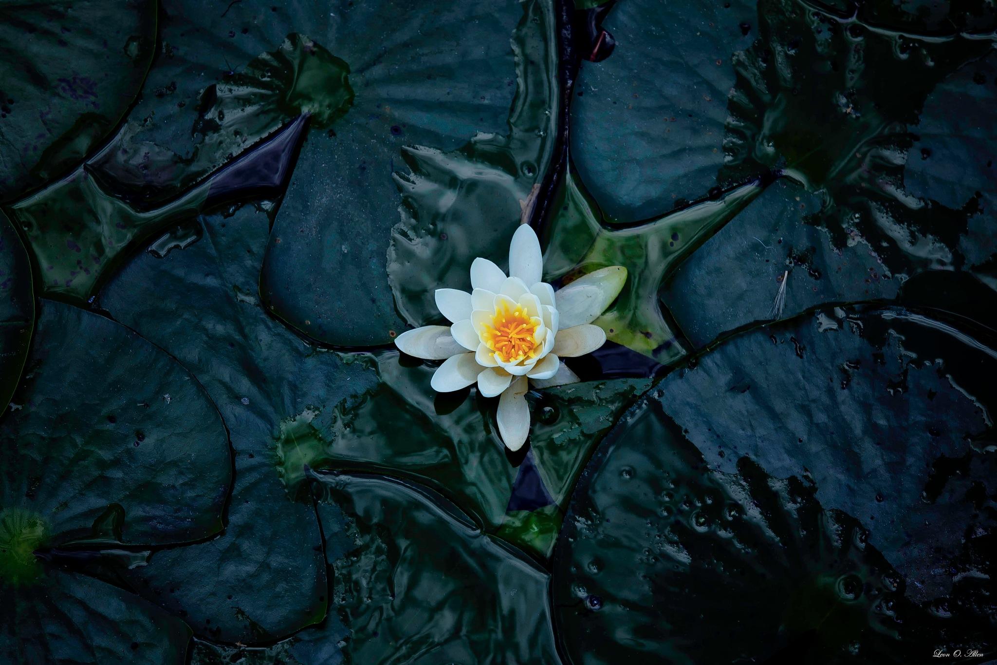 Water Flower #1 by Leon O. Allen