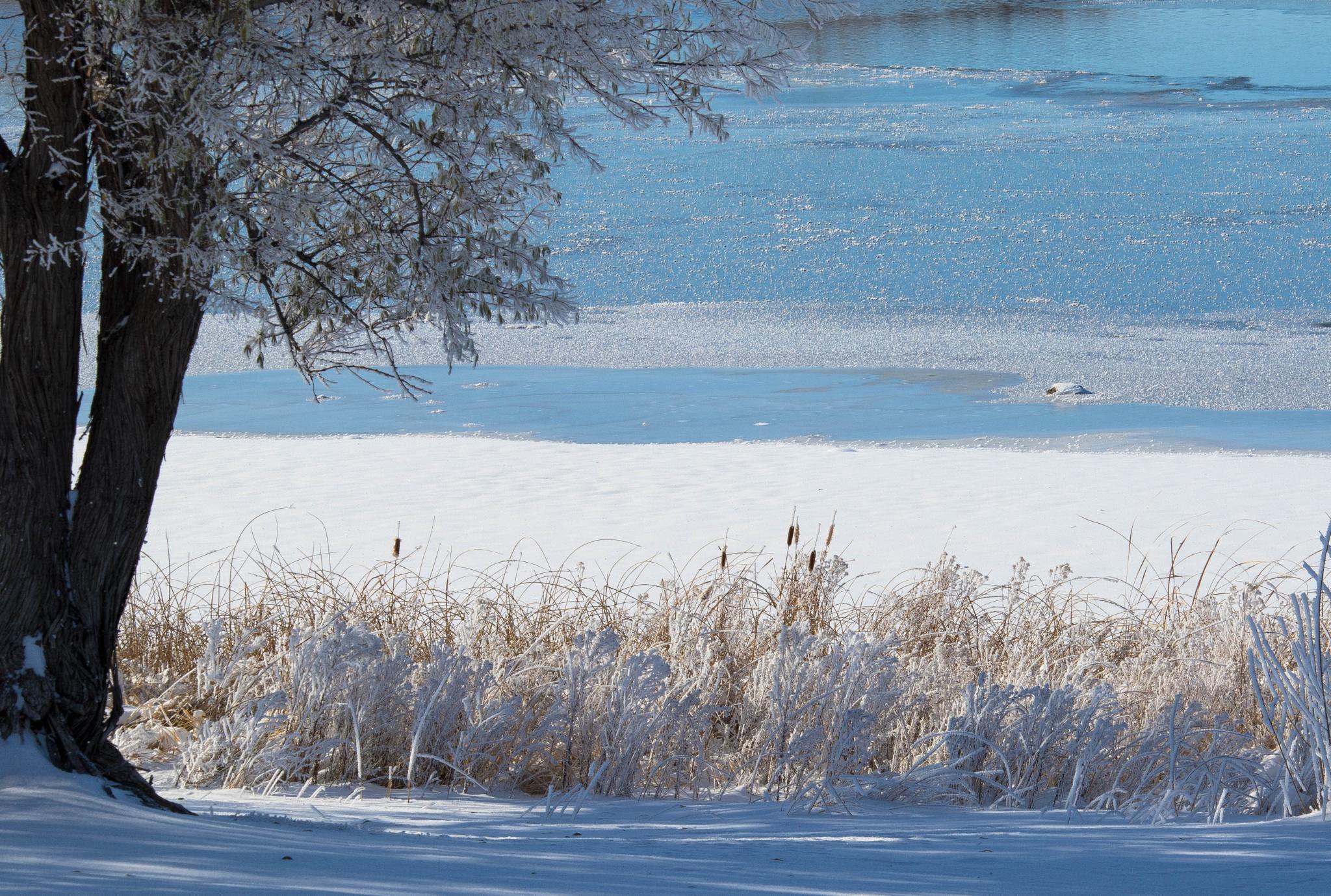 Frozen Cattails by drchad480