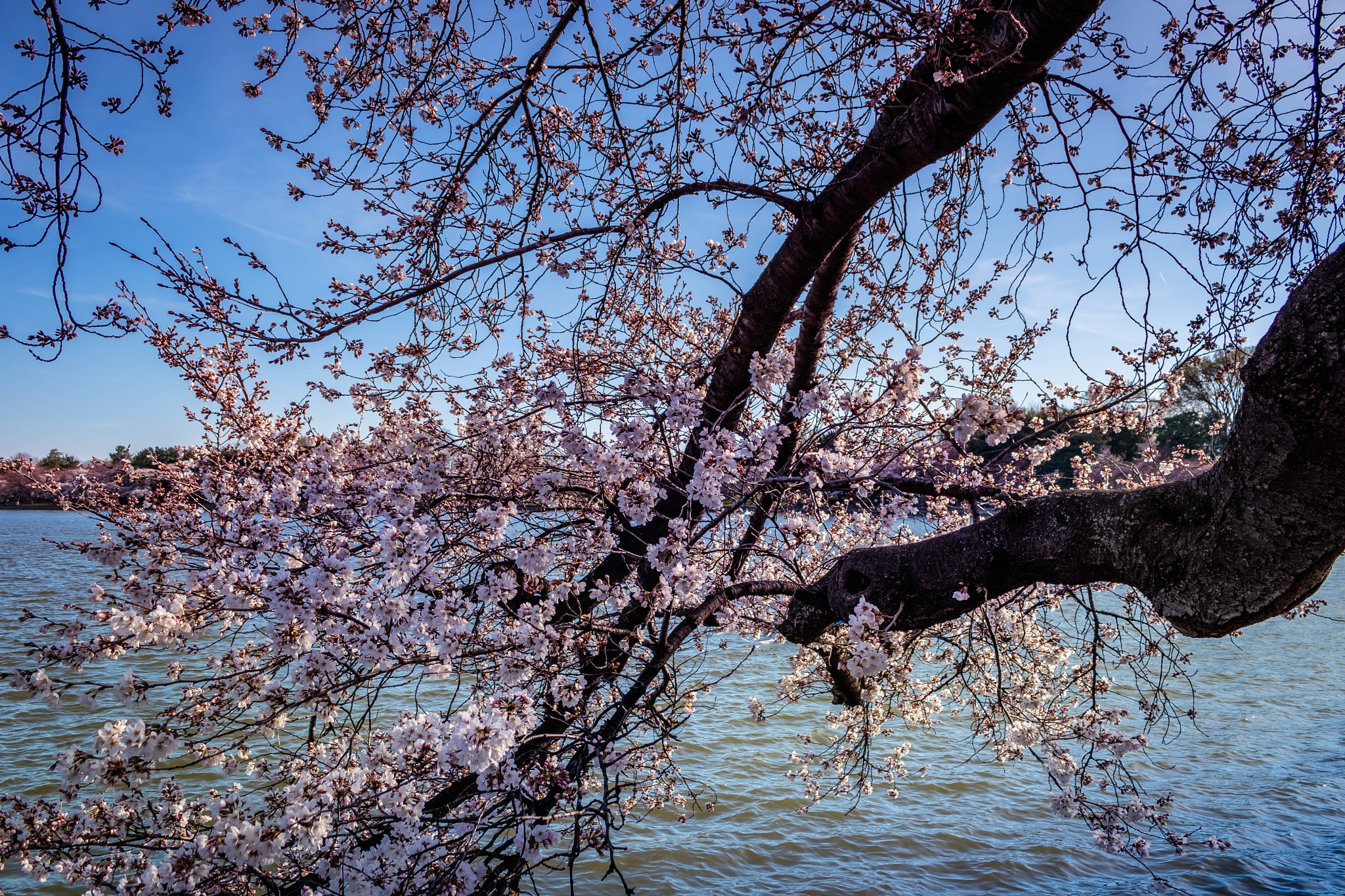 Cherry Blossoms over Water by drchad480