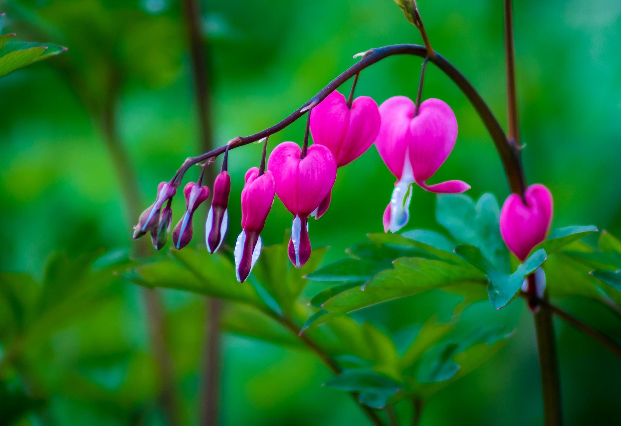 Photo in Nature #bleeding hearts #flowers #garden #pink #white #pretty