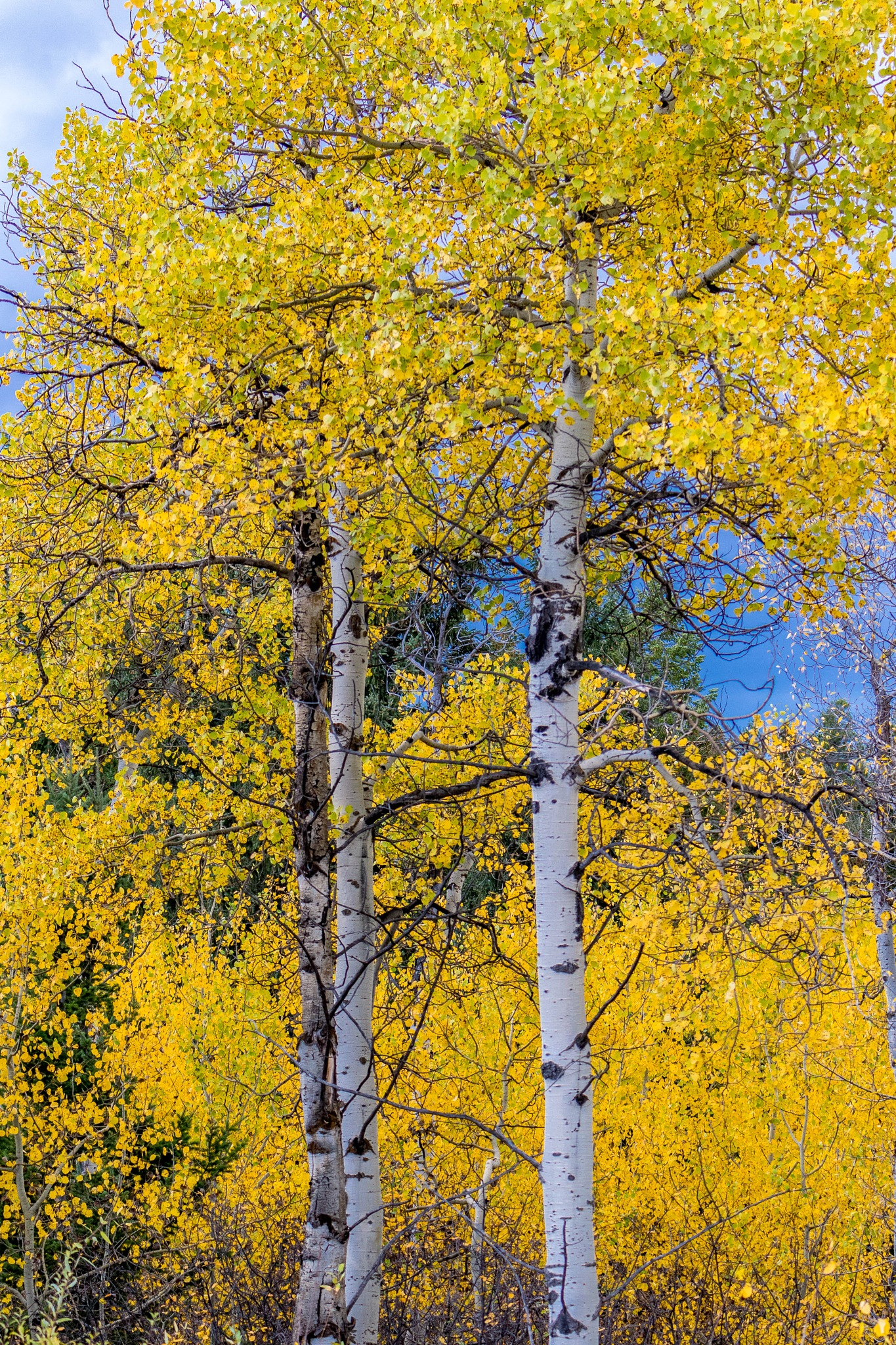 Quaking Aspen by drchad480