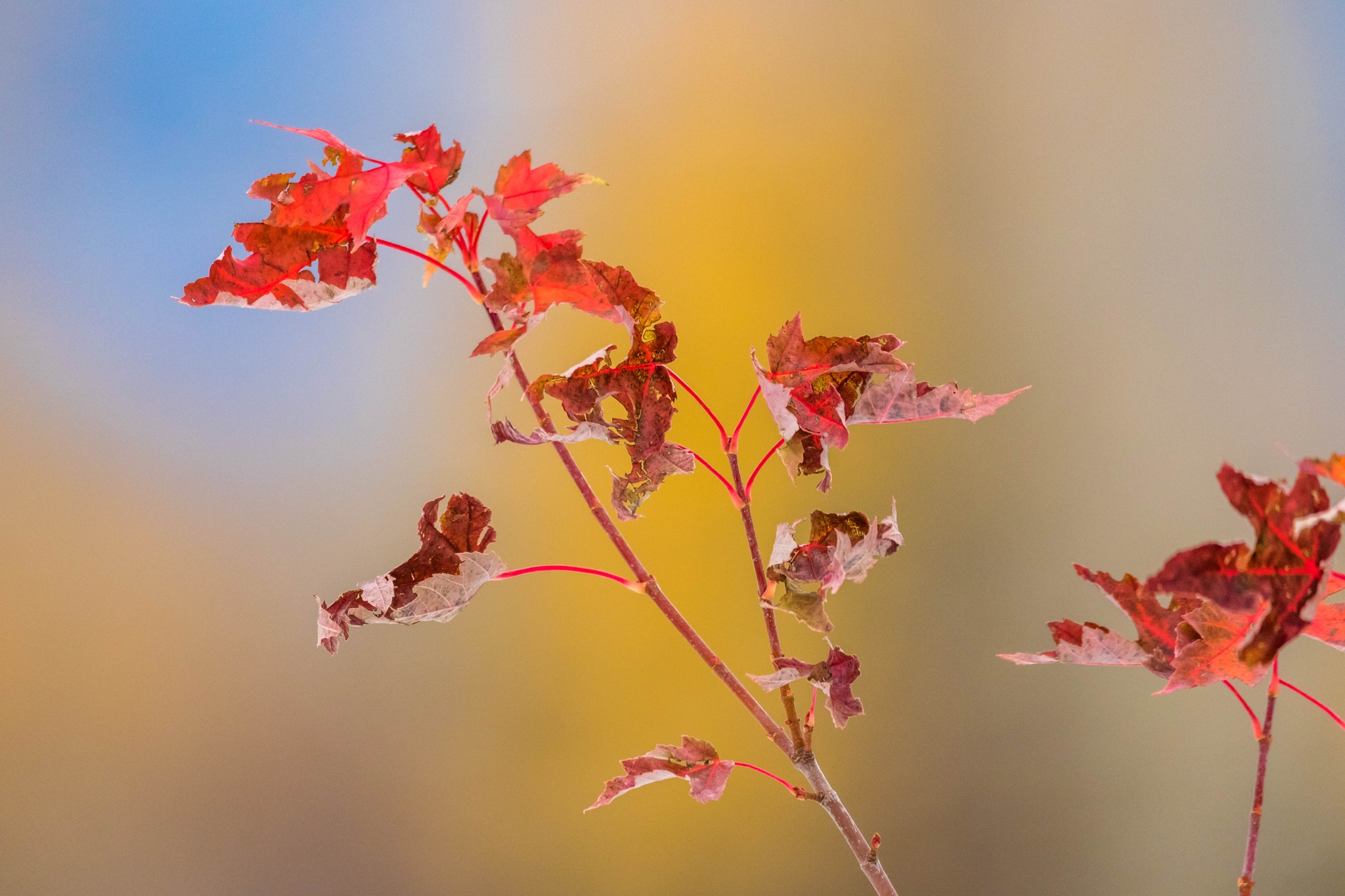 Crinkly Maple Leaves by drchad480