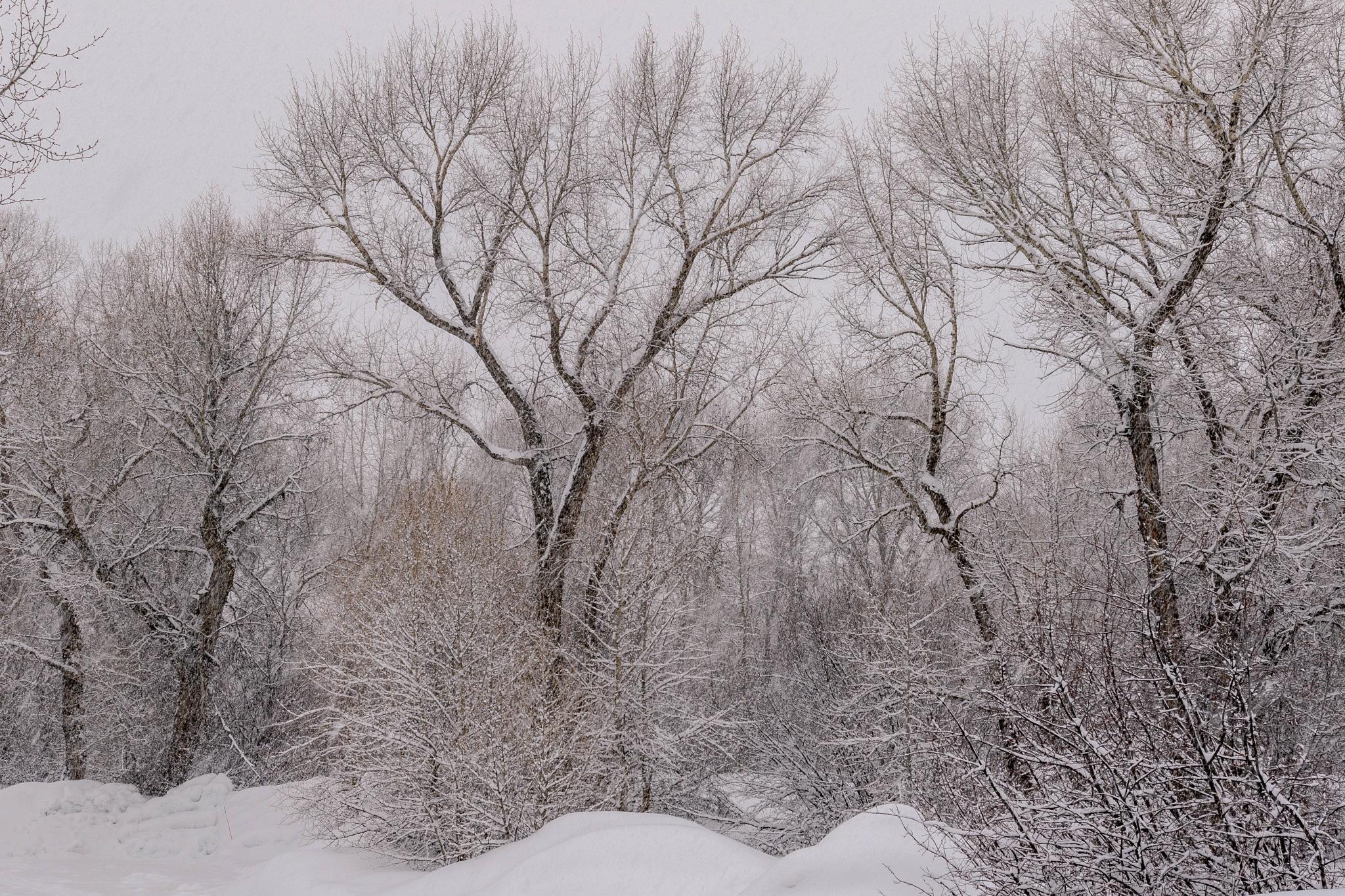 Snowy Poplar Forest by drchad480
