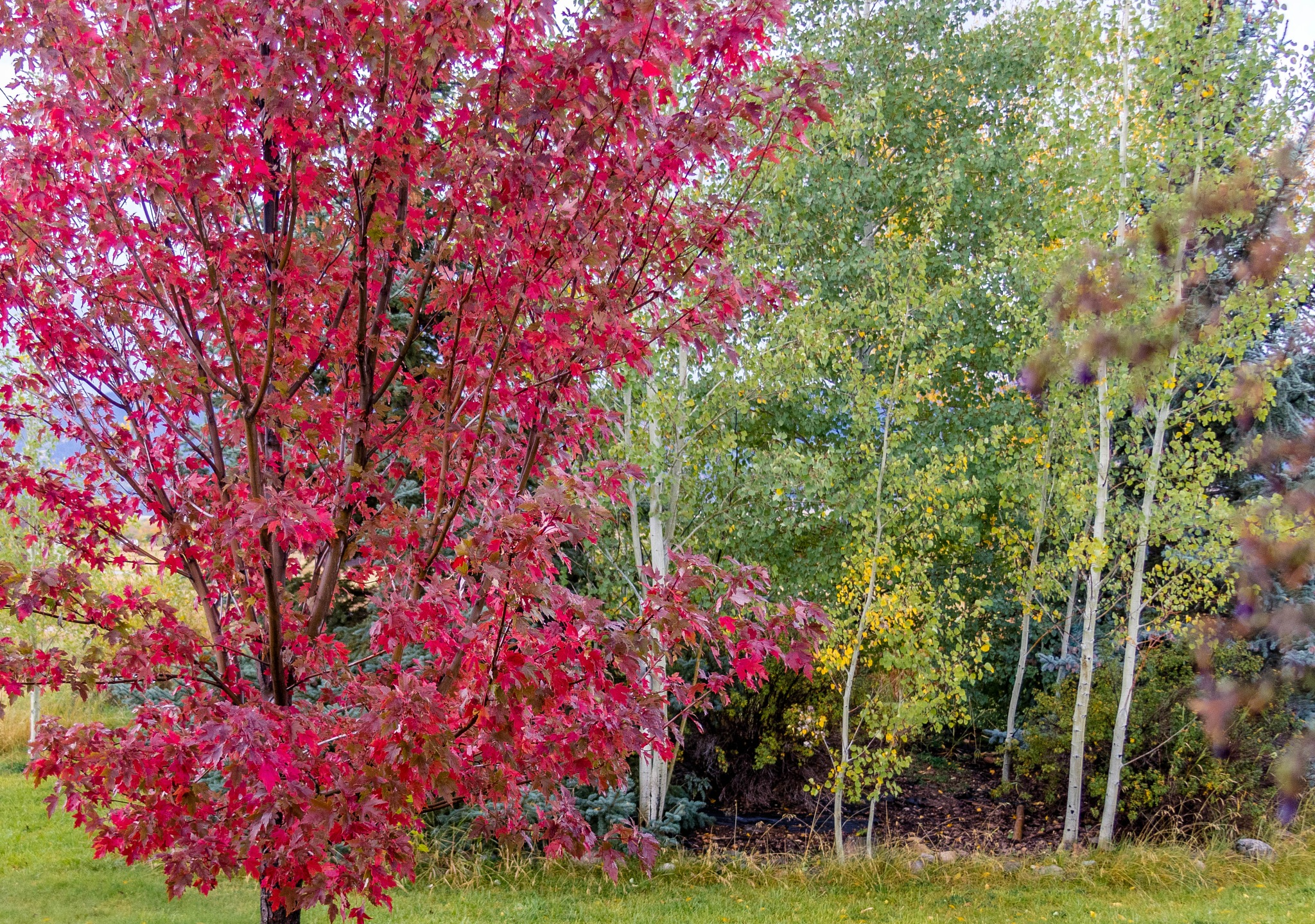 Flaming Maple by drchad480