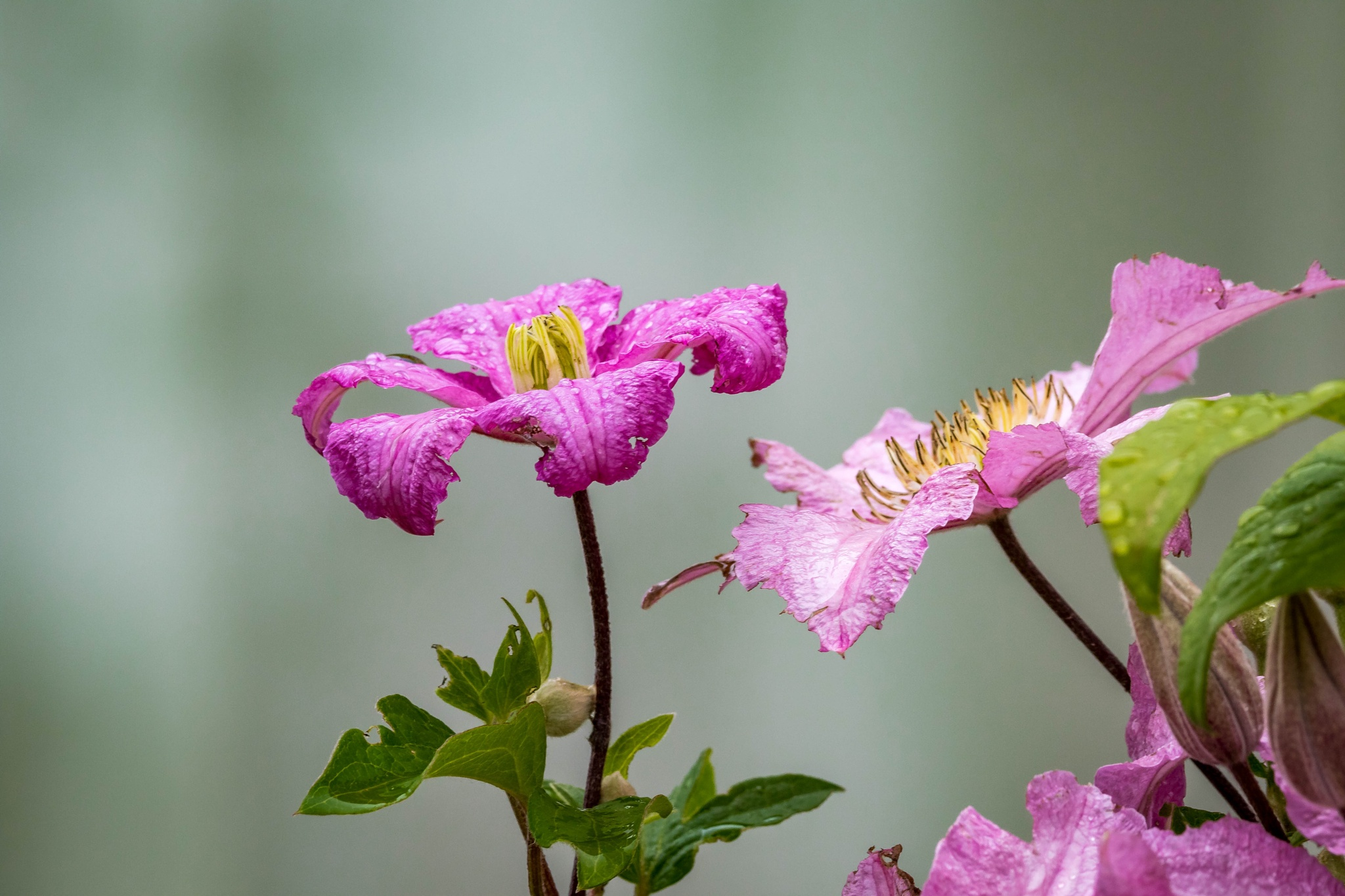 Clematis Vine by drchad480