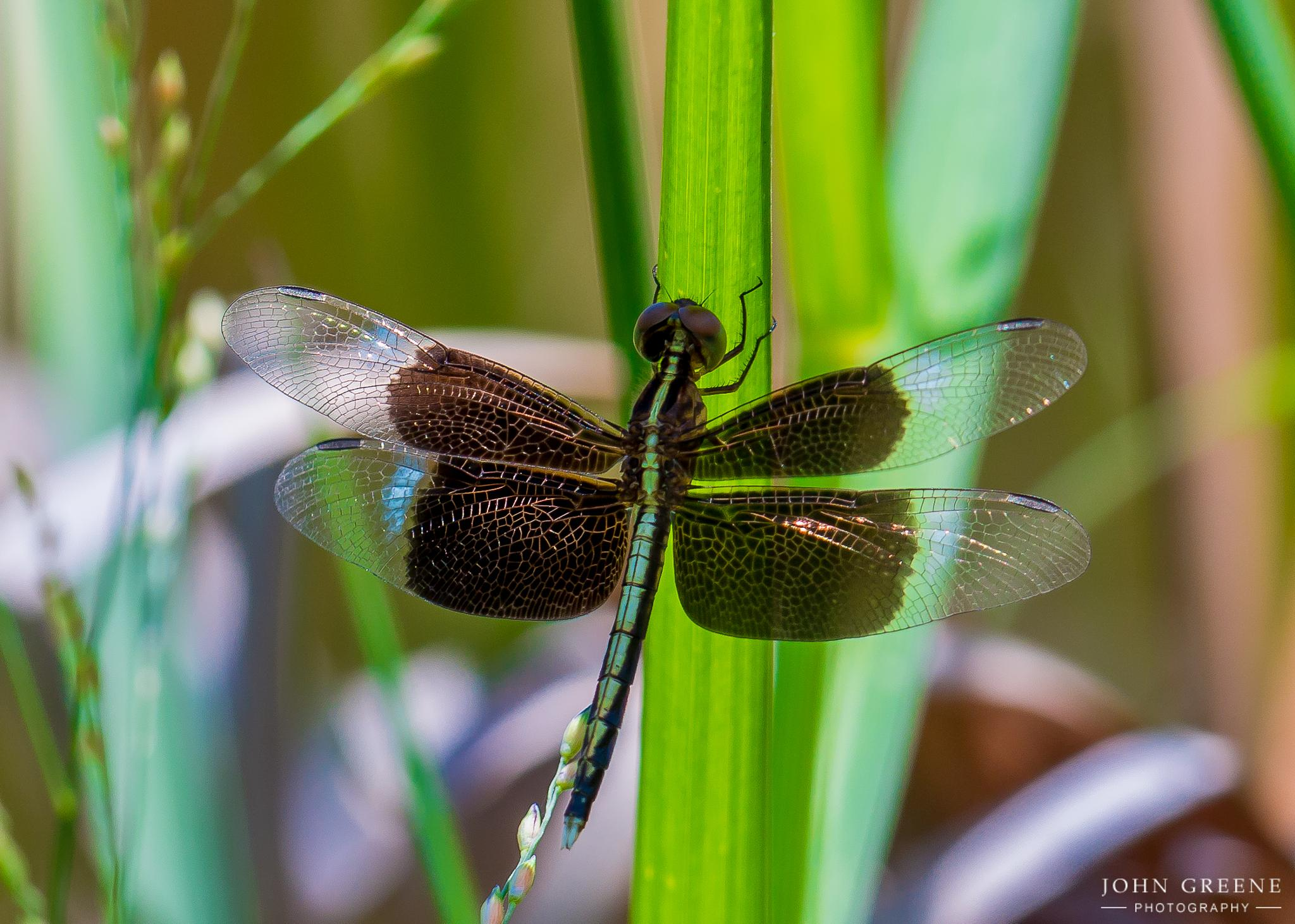 Dragonfly. by carrigallenjohn