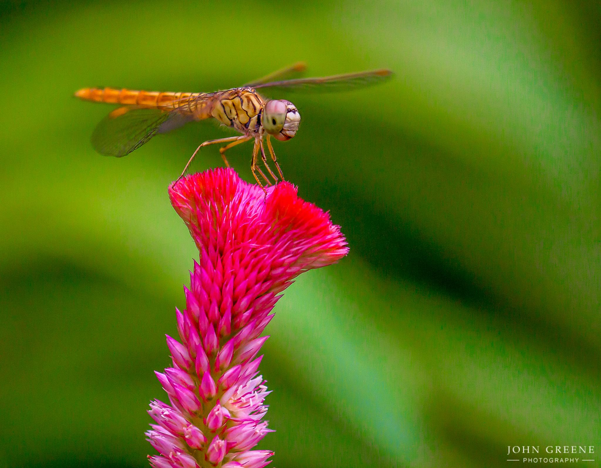 Dragonfly On A Red Flower. by carrigallenjohn
