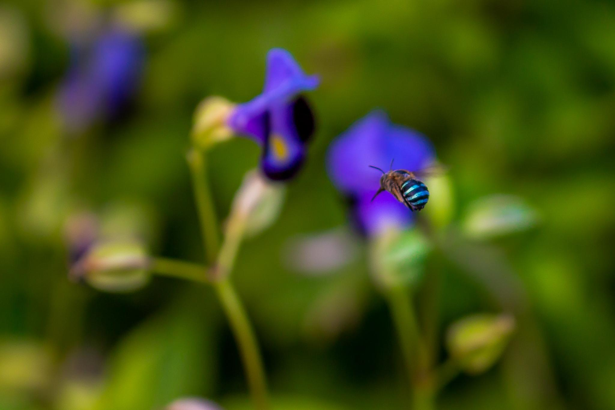 Blue-Banded Bee. by carrigallenjohn