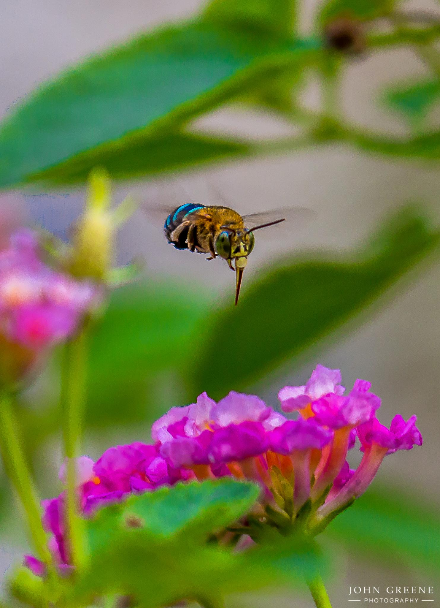 Blue Banded Bee. by carrigallenjohn