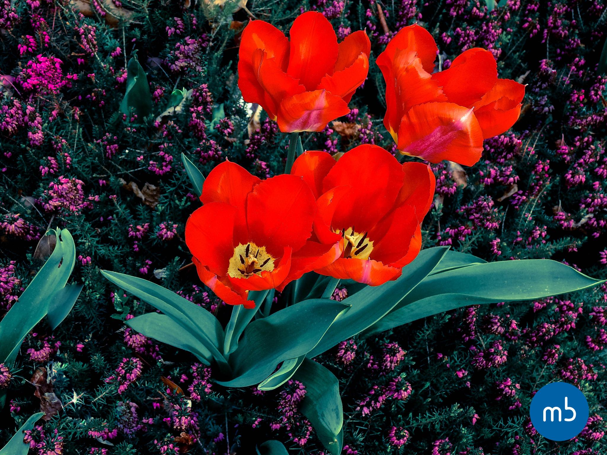 Tulipes by Maxime Bataille photography