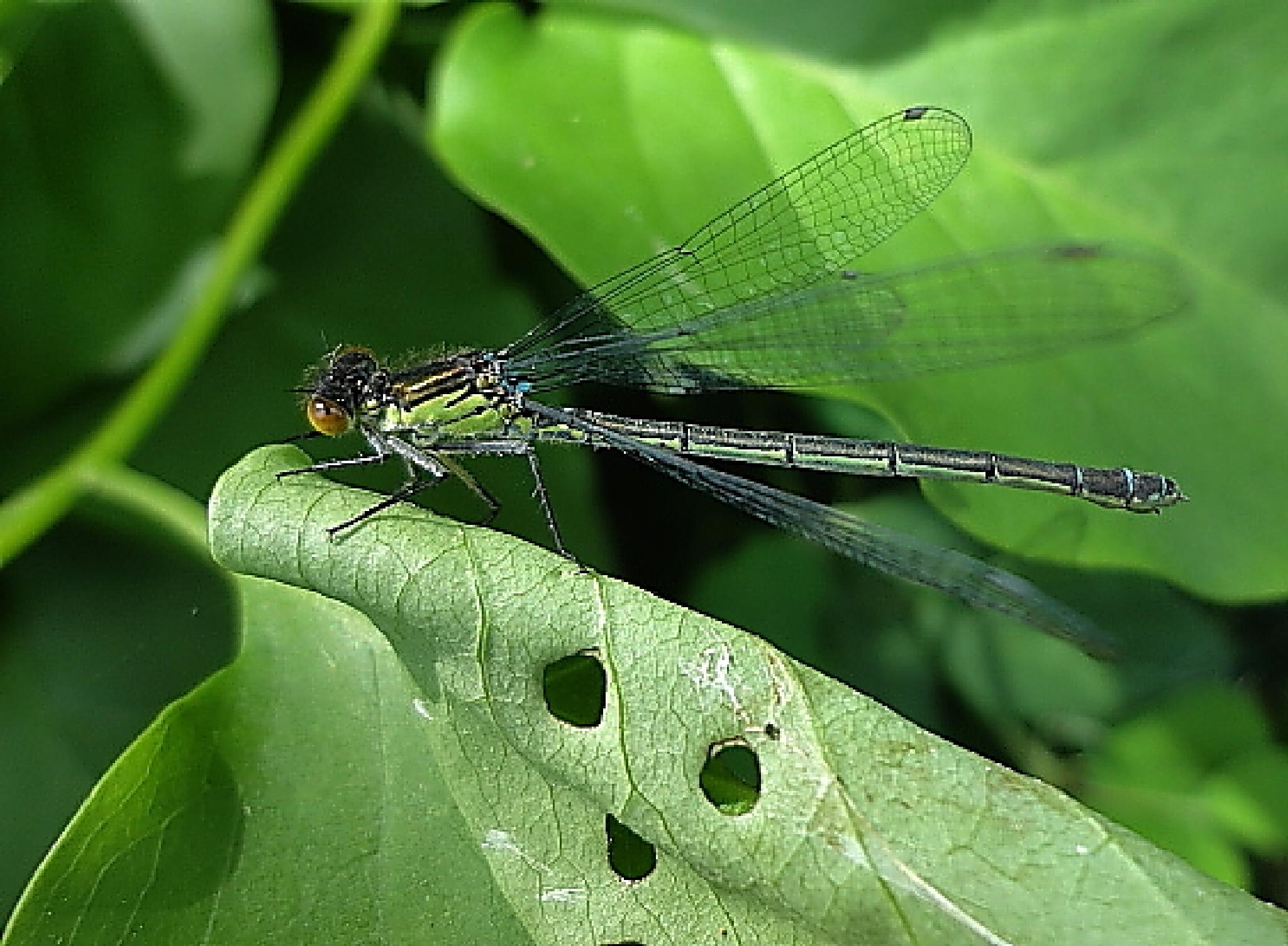 Dragonfly onto smiley face  by Jonas Tavoras