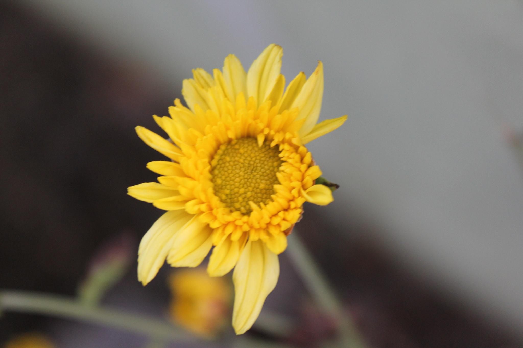 sunflower flower  by gopal.krishna