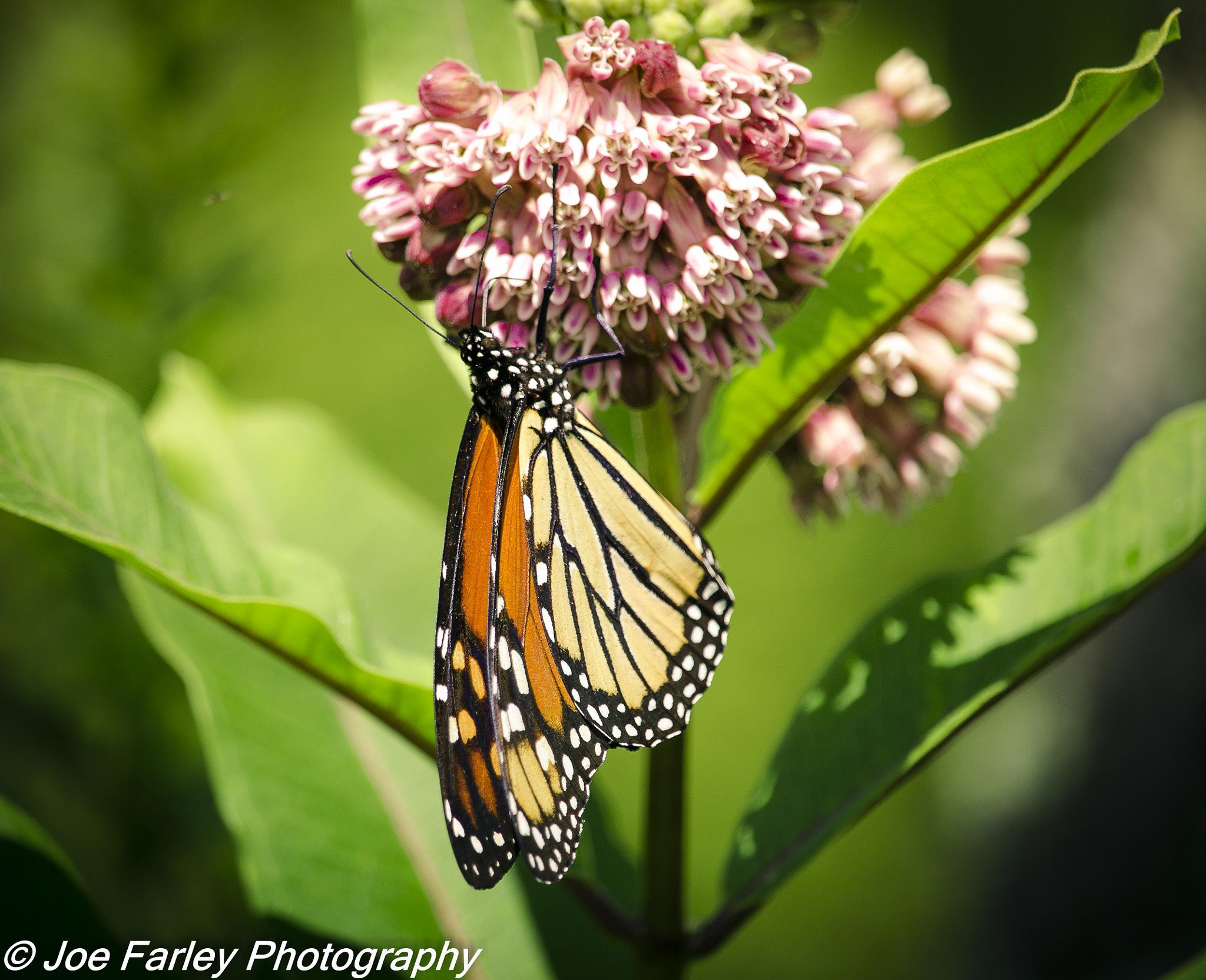Monarch Butterfly by joey.farley.56