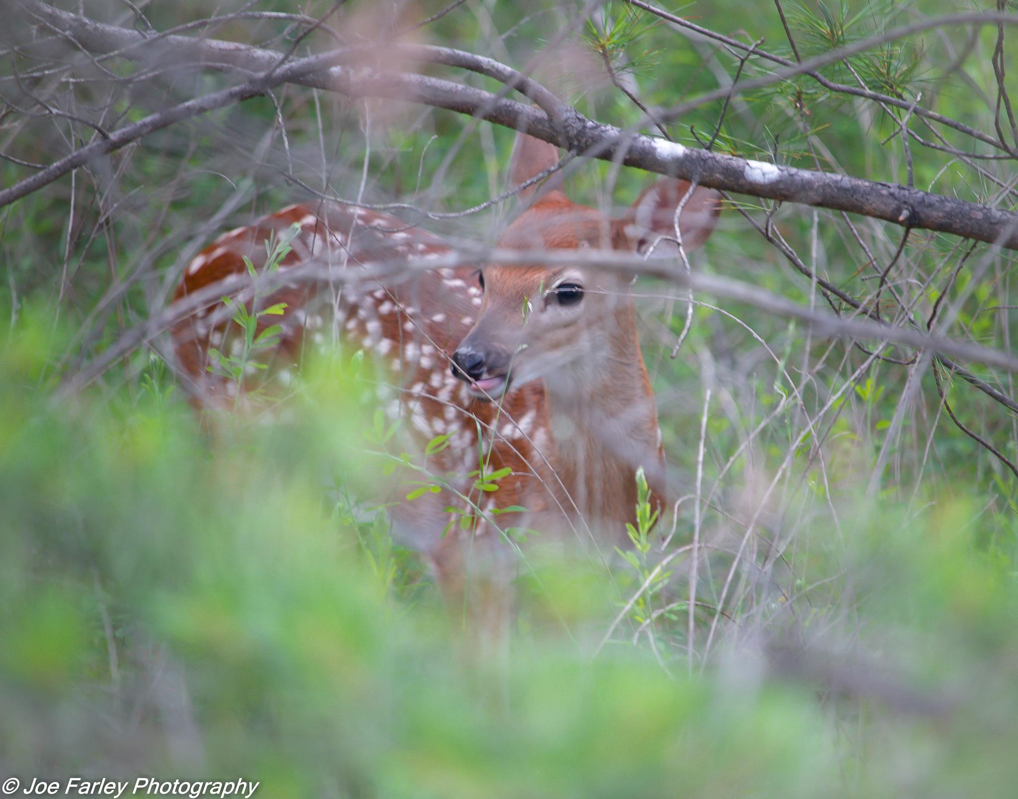 Baby Deer by joey.farley.56