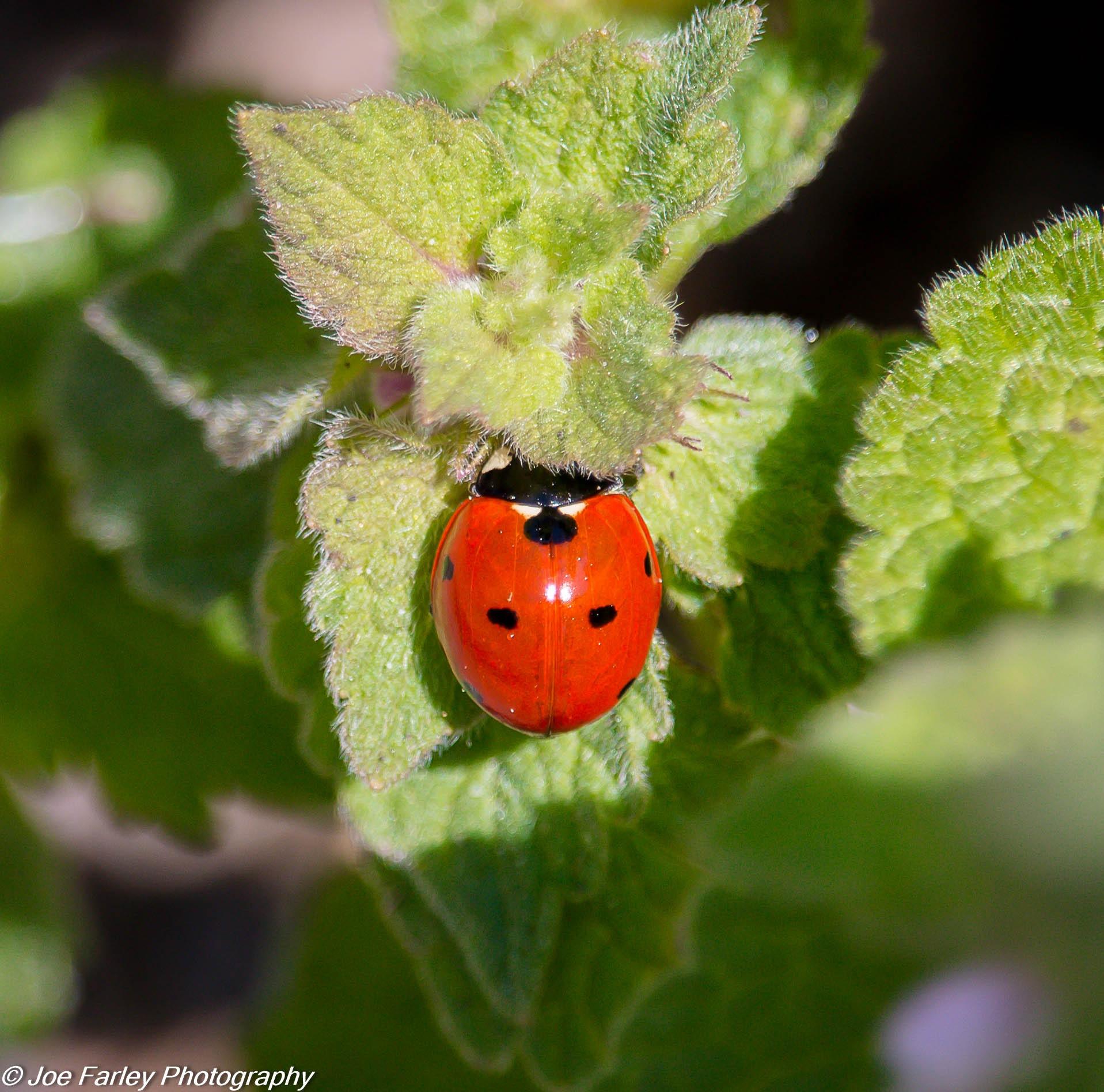 Little Ladybug by joey.farley.56