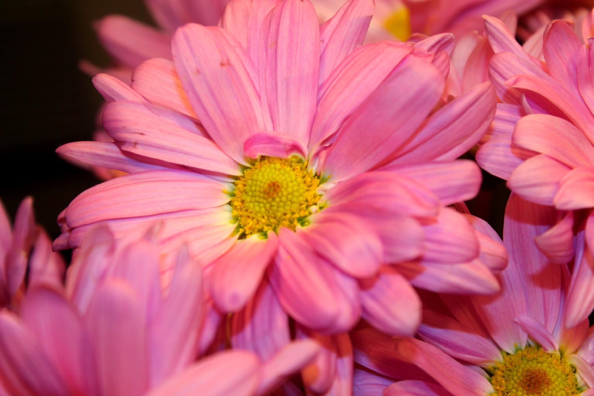 Pink Daisy by christie.henderson.5