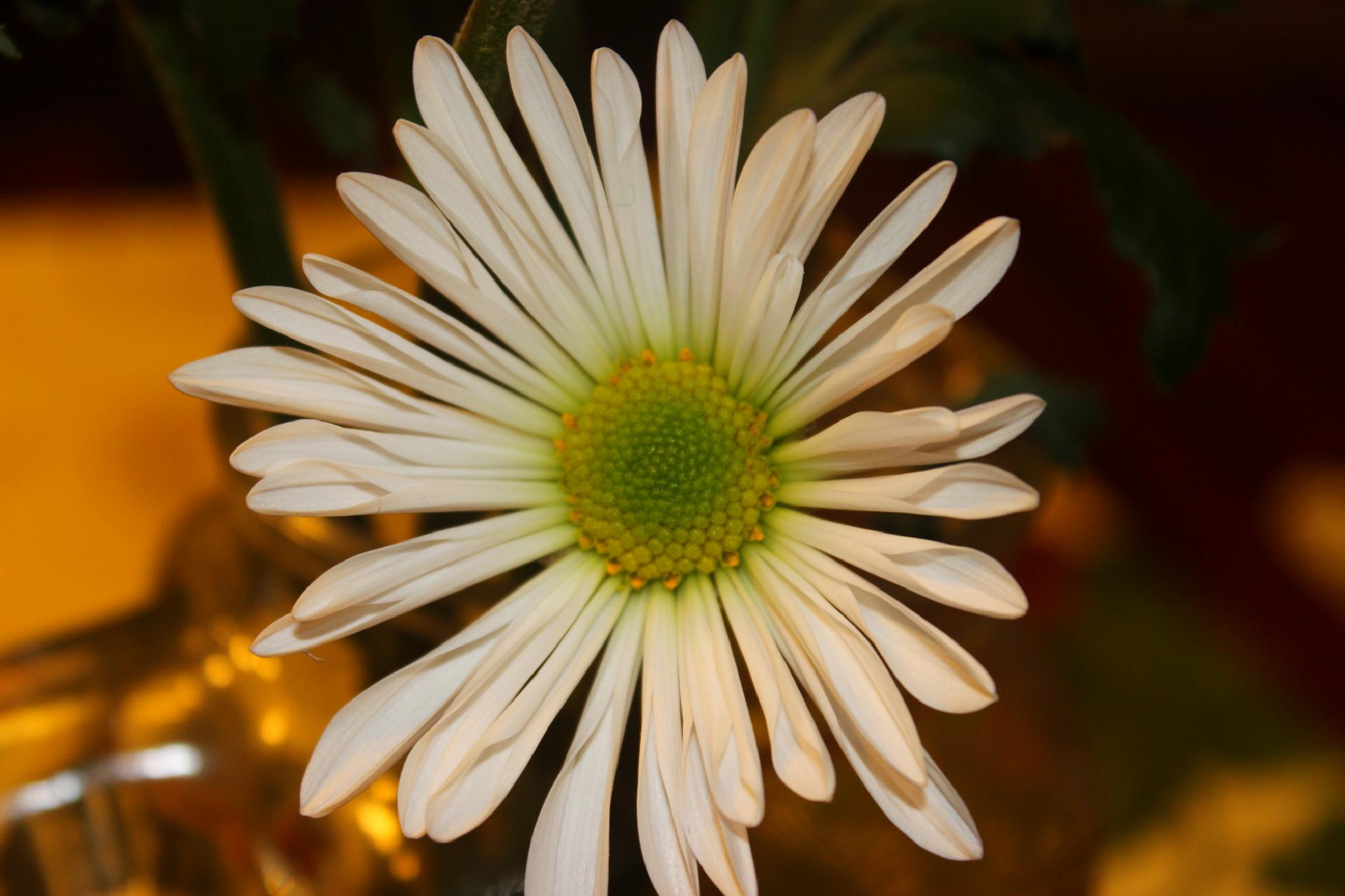 Photo in Nature #daisy #flower #gree