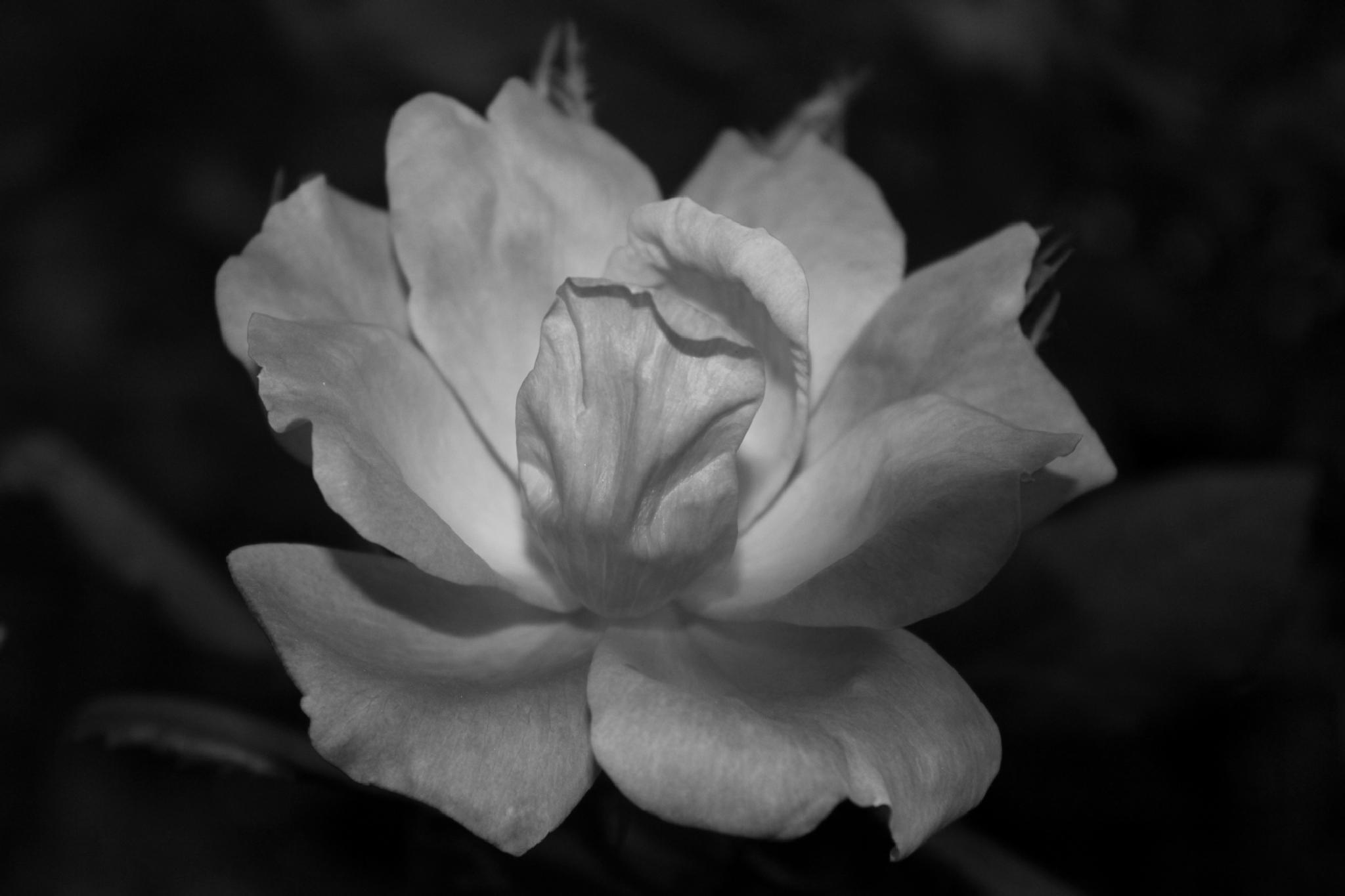 Blush Rose by christie.henderson.5