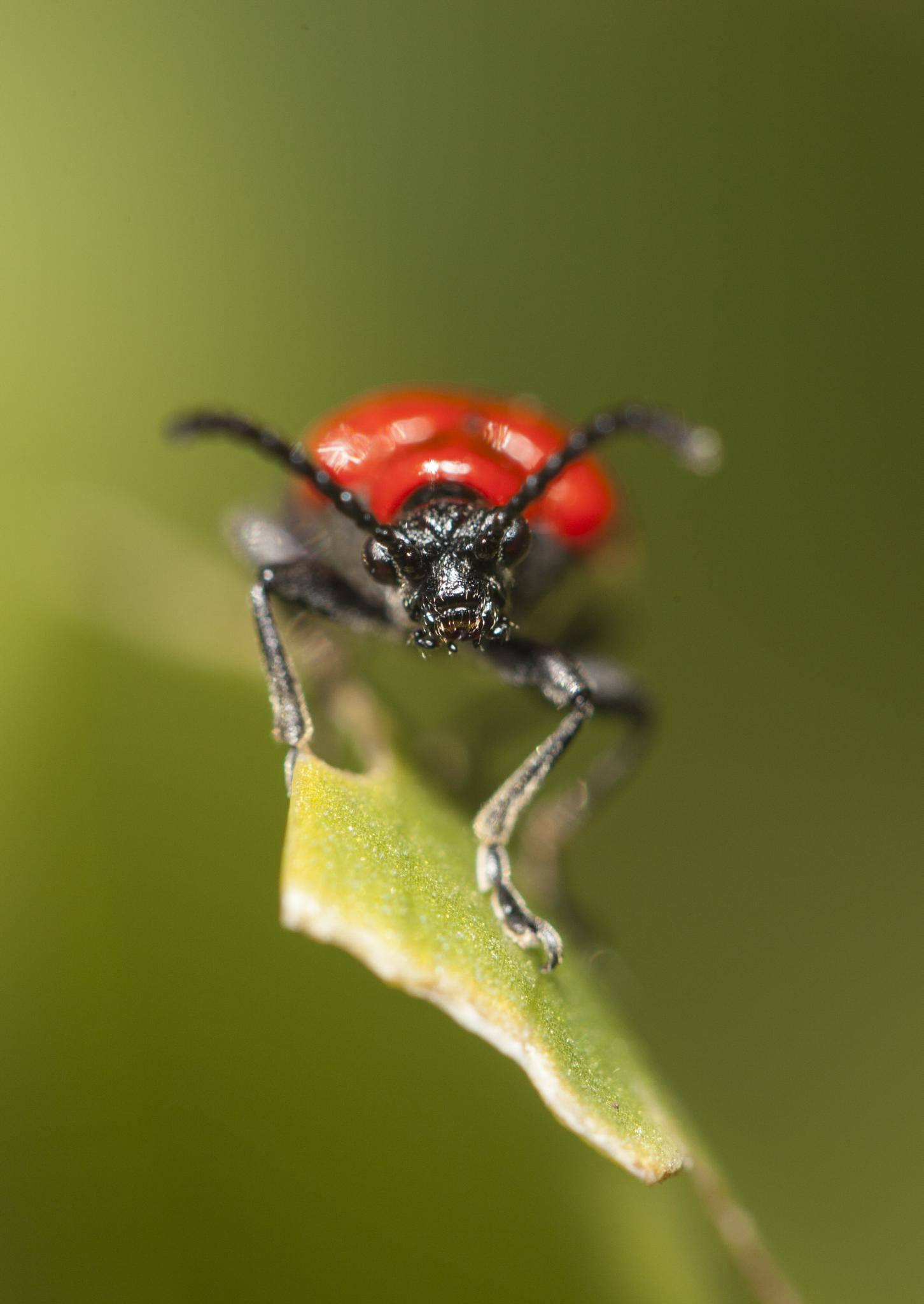 Red beetle  by Magnus Heide Andreasen