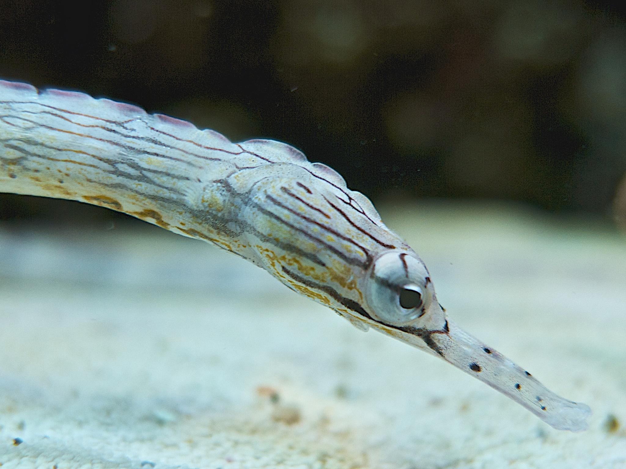 pipe fish by matt.sumner.376