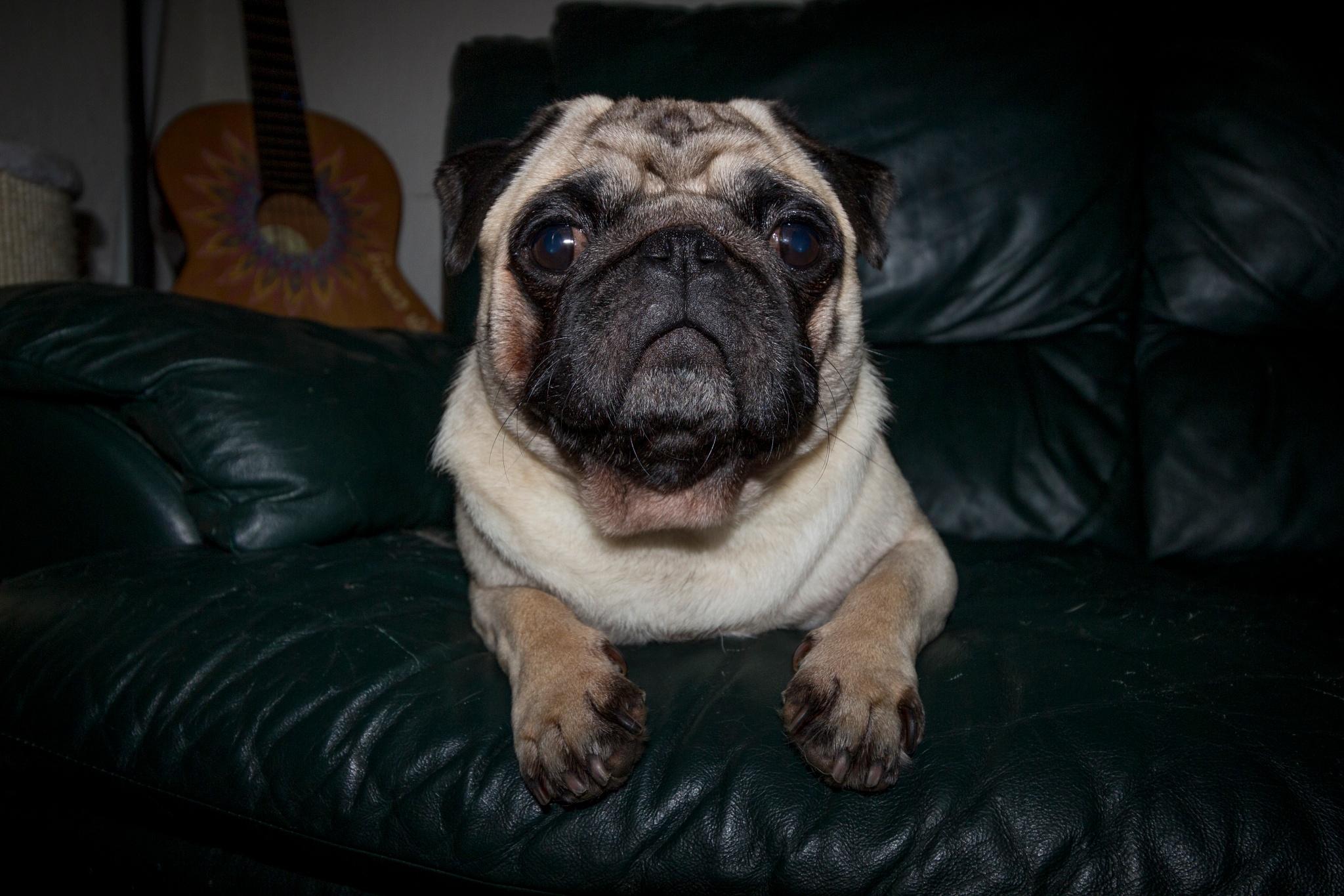 Pugsy the Pug!  by Fer Herwaarden