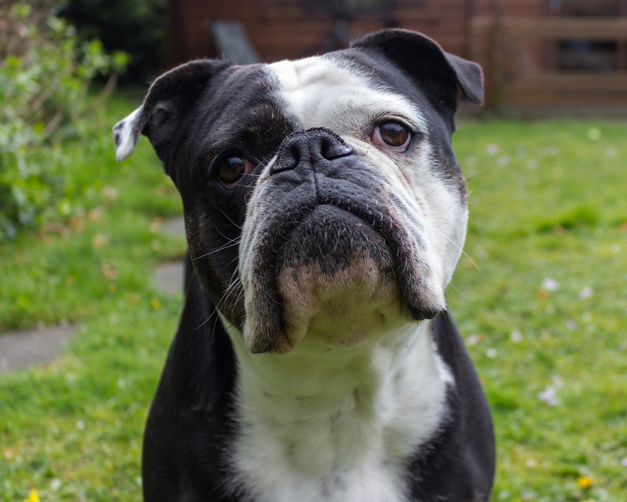 Luca the old English Bulldog by Fer Herwaarden