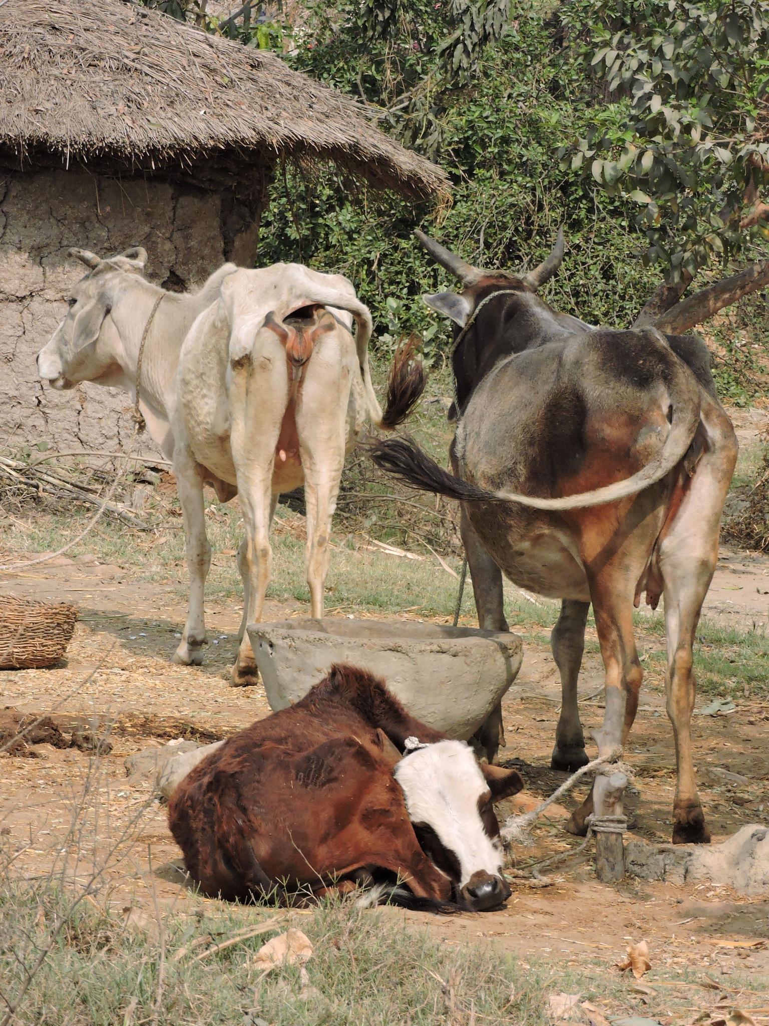 rural india by annapoorna.sitaram