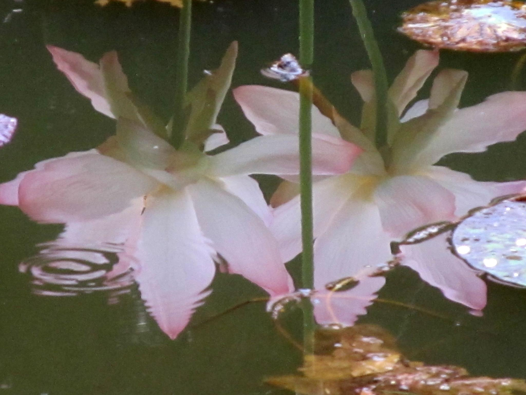 reflection of lotus by annapoorna.sitaram