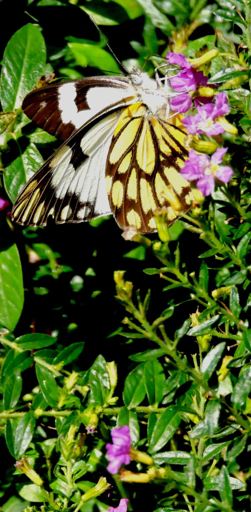 butterfly by annapoorna.sitaram
