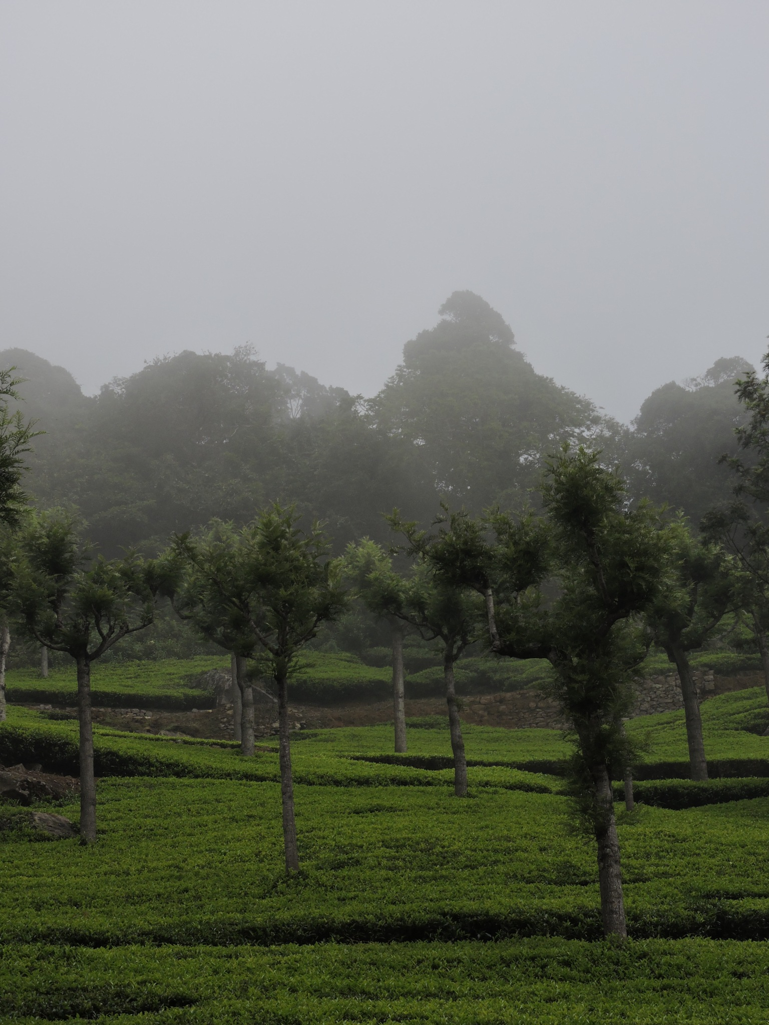 tea garden in Coonor, India  by annapoorna.sitaram