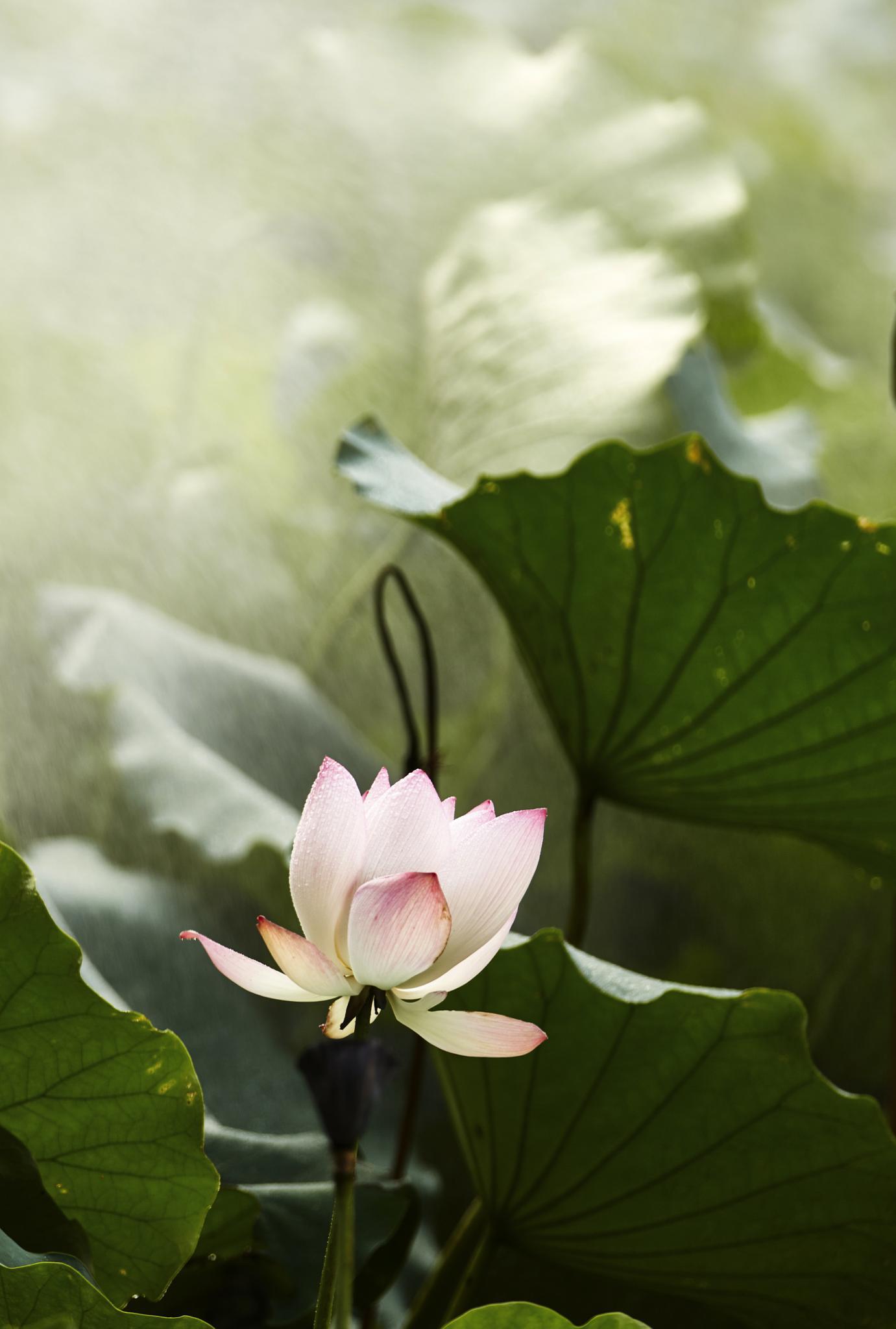 lotus in the mist 03 by PatrickLeeKKAh9