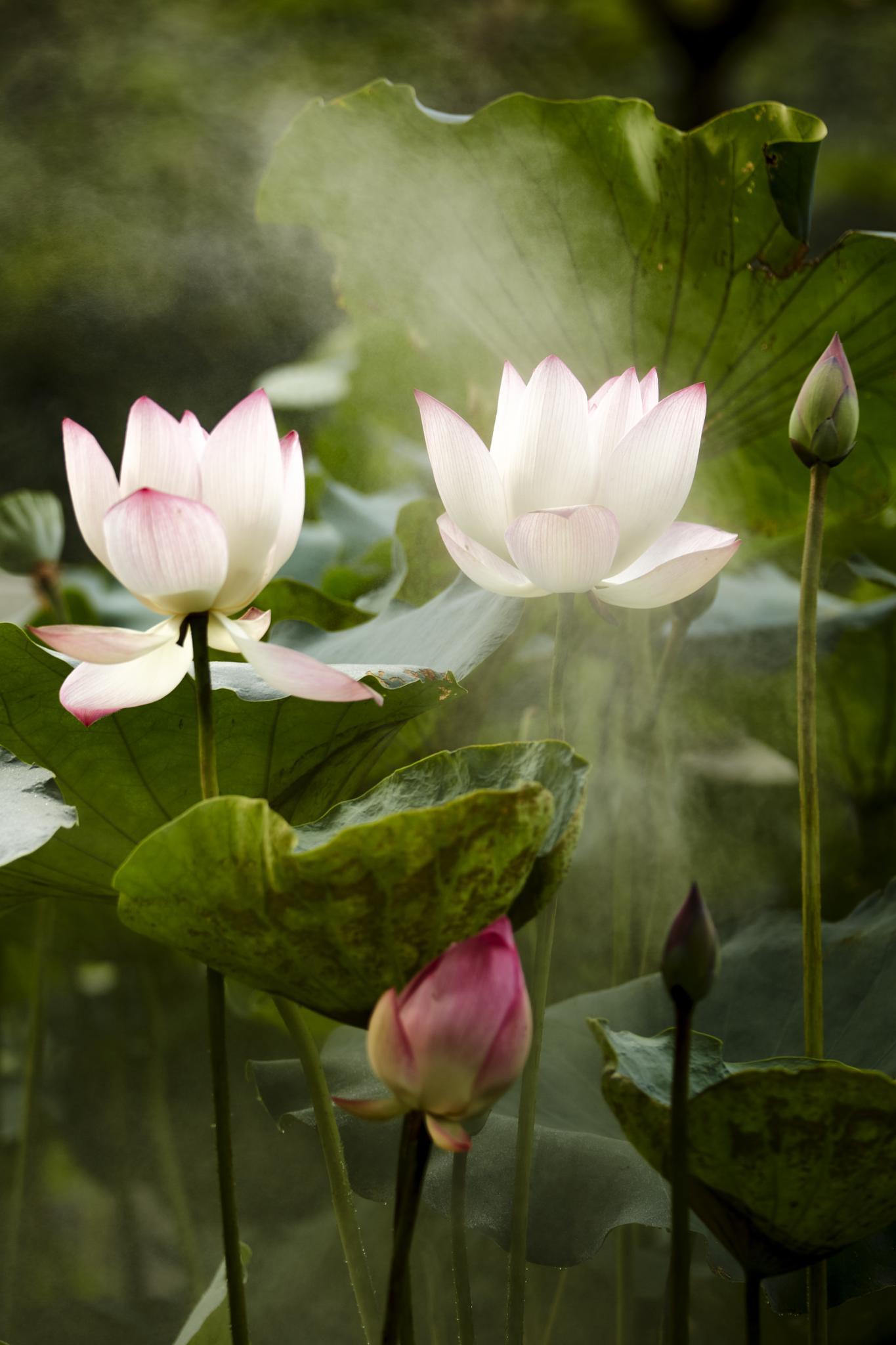 lotus in the rain 02 by PatrickLeeKKAh9