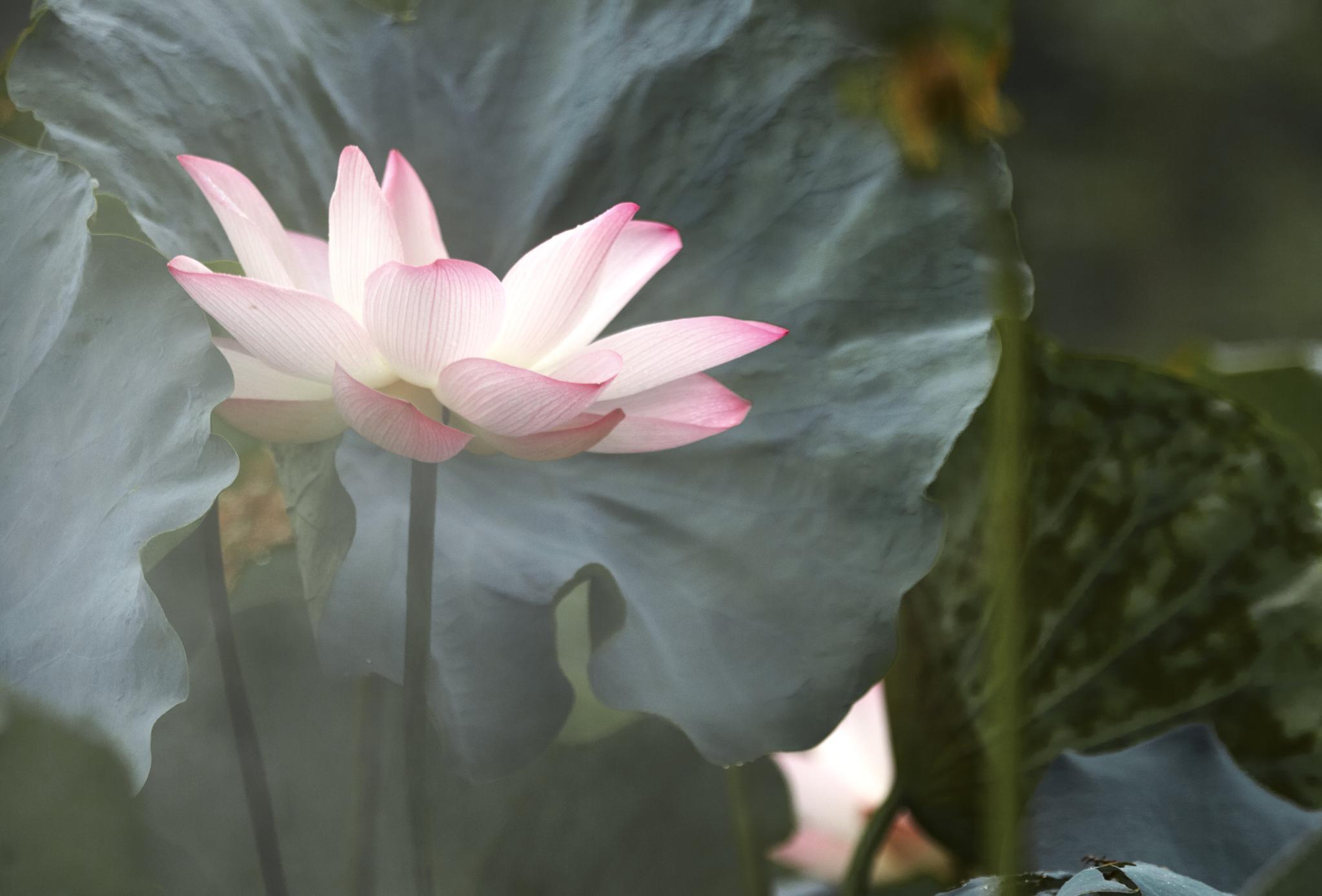 lotus in the mist 08 by PatrickLeeKKAh9
