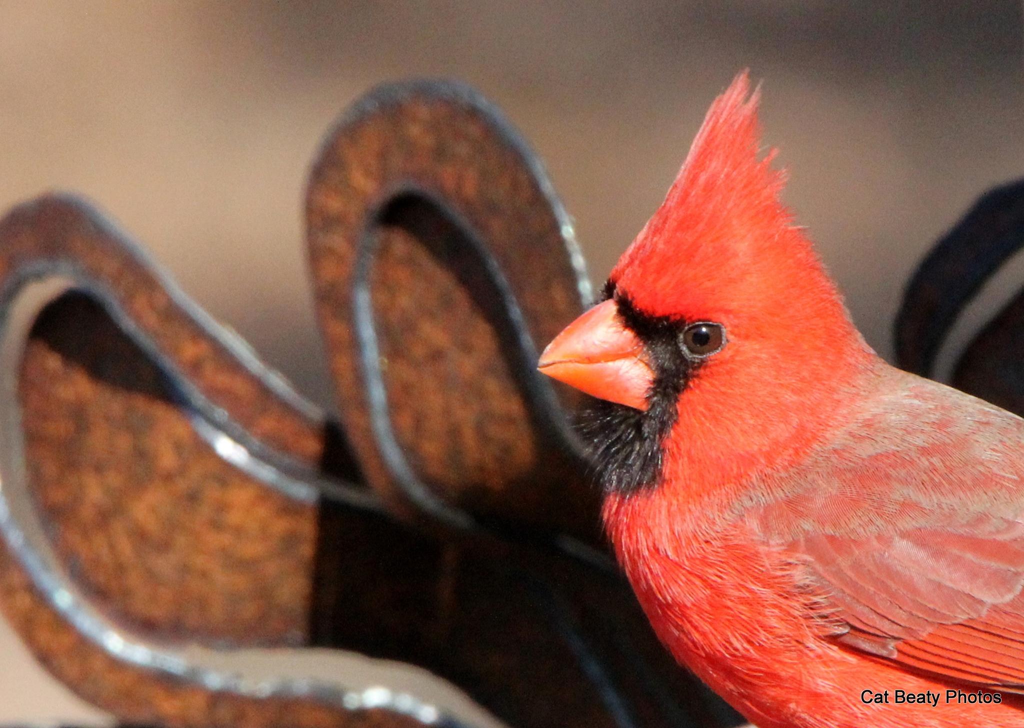 Cardinals 2016-1 by cat.beaty