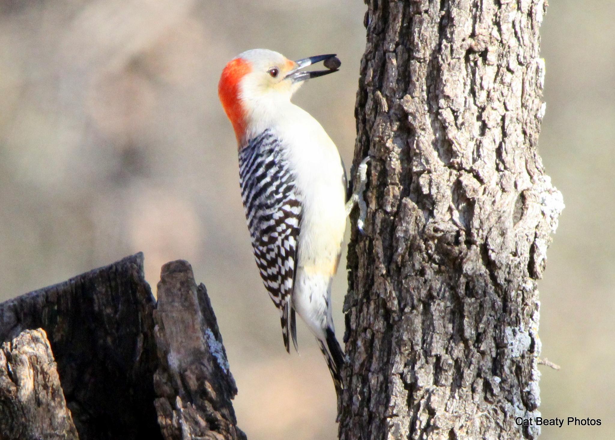 Woodpecker 2016-4 by cat.beaty