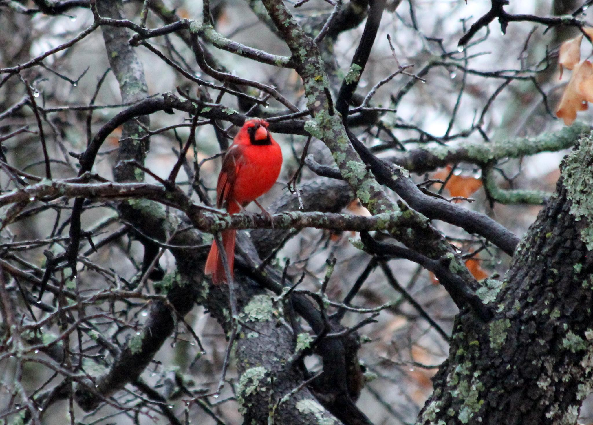 Cold Rainy Redbird by cat.beaty