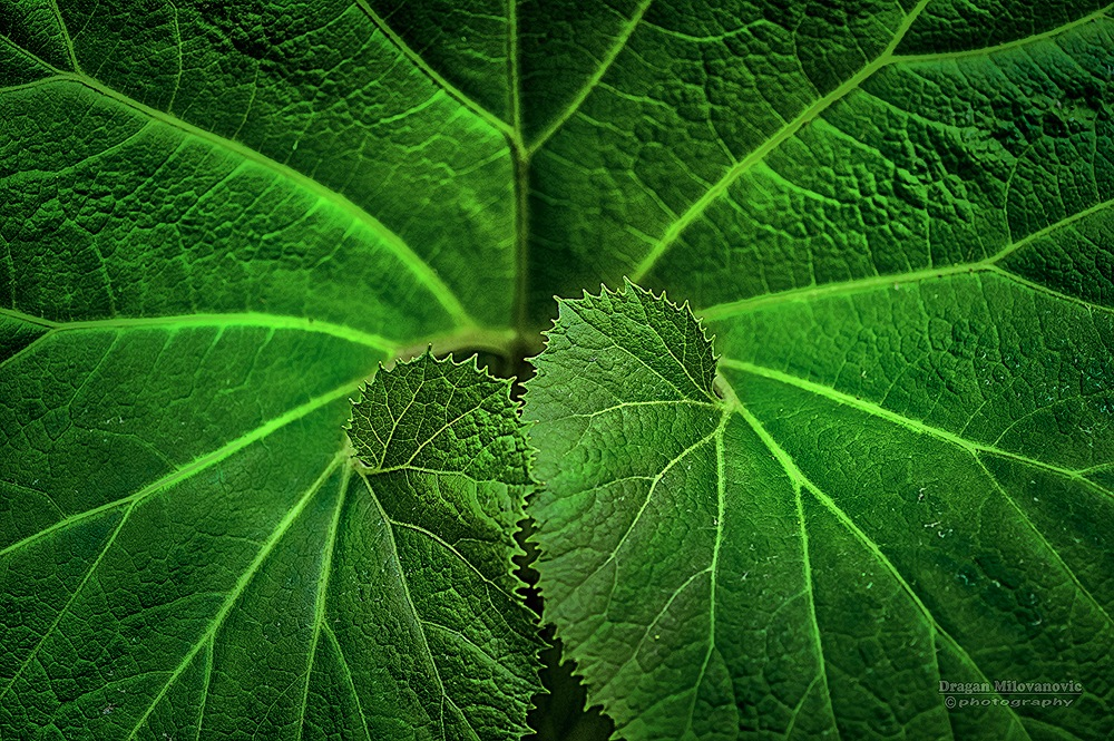 Leaf by Dragan Milovanovic photography