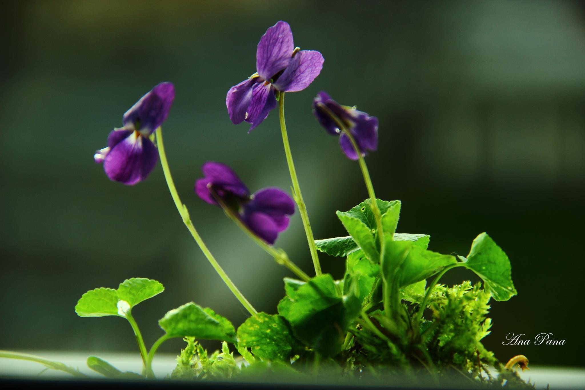 Spring beauty ! by ana.pana.733