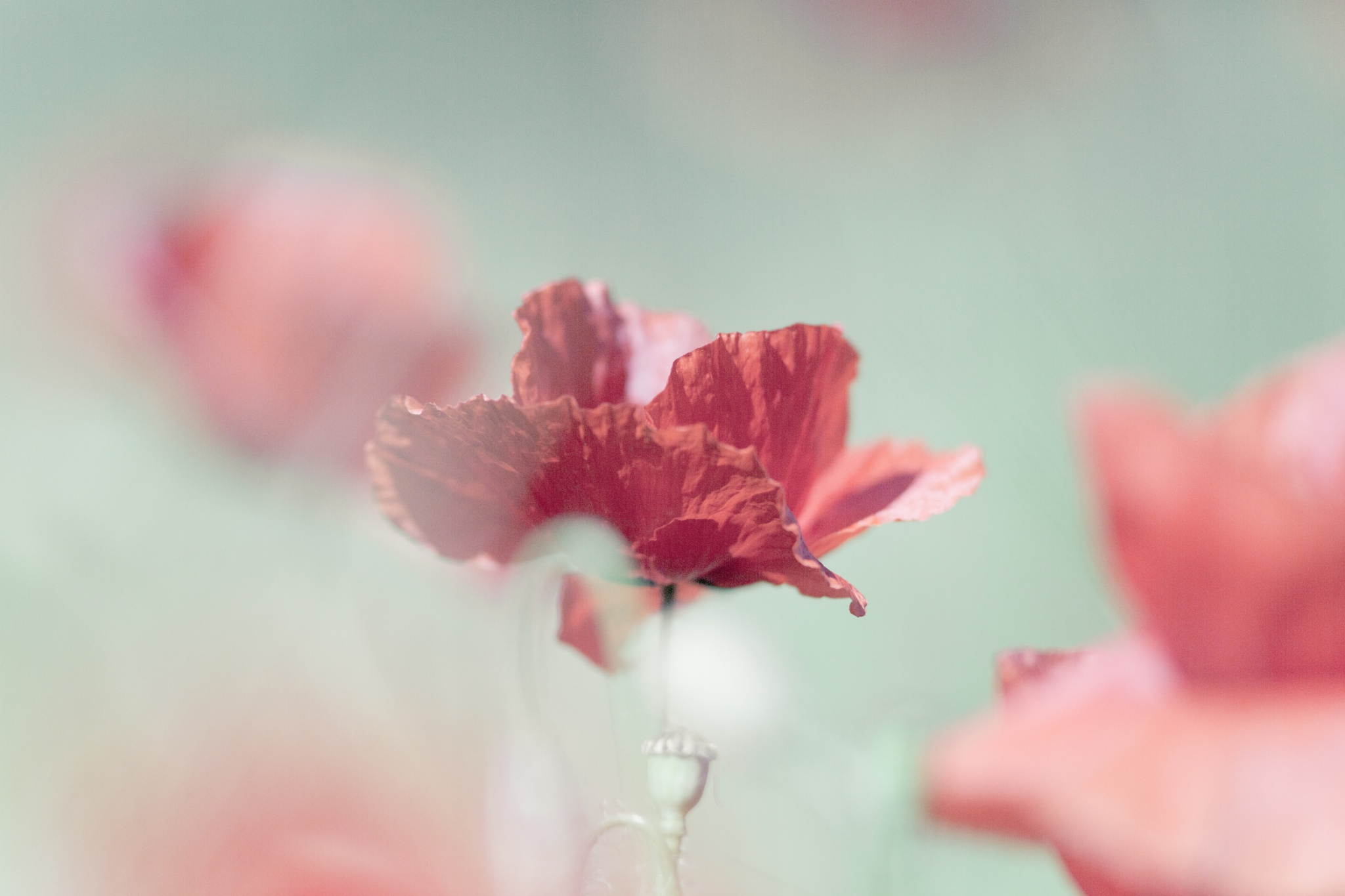 poppy by ottohargita