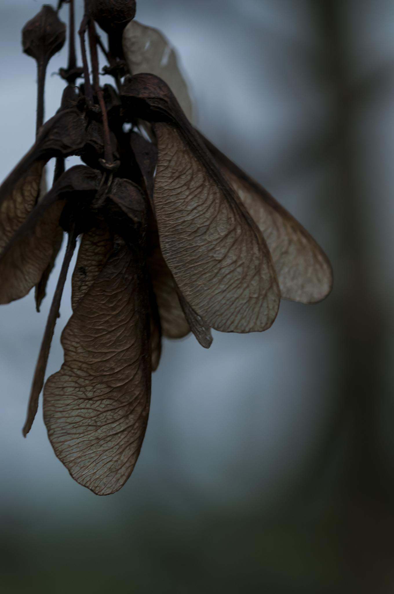 Sycamore Seed by Pete Feeny